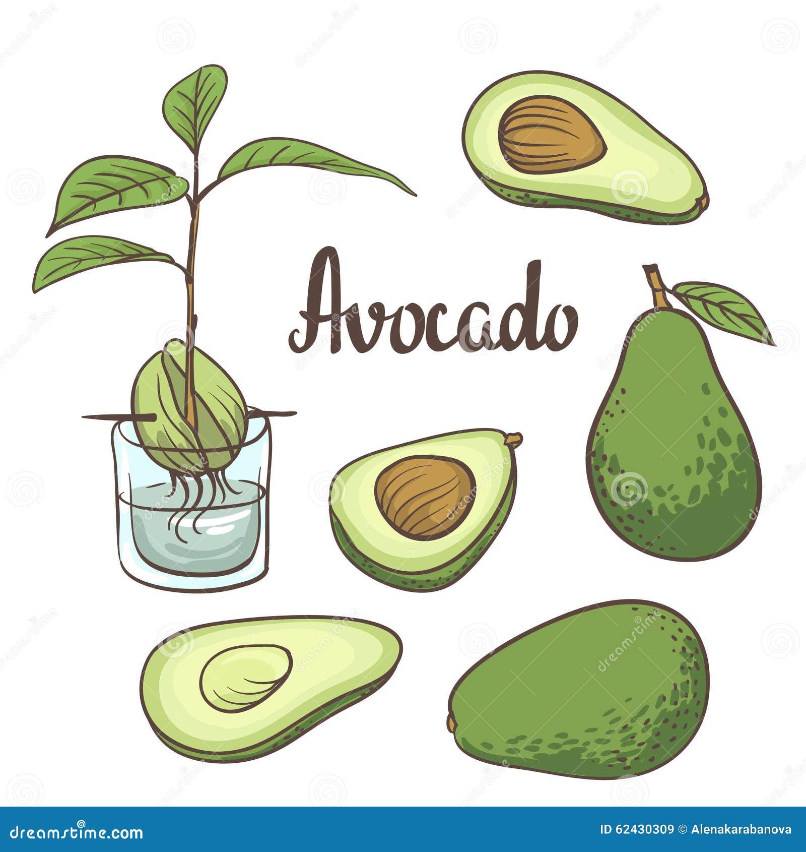De avocado, de helft van avocado, avocadozaad, een zaailing van avocado op een laboratoriumfles isollated op witte achtergrond