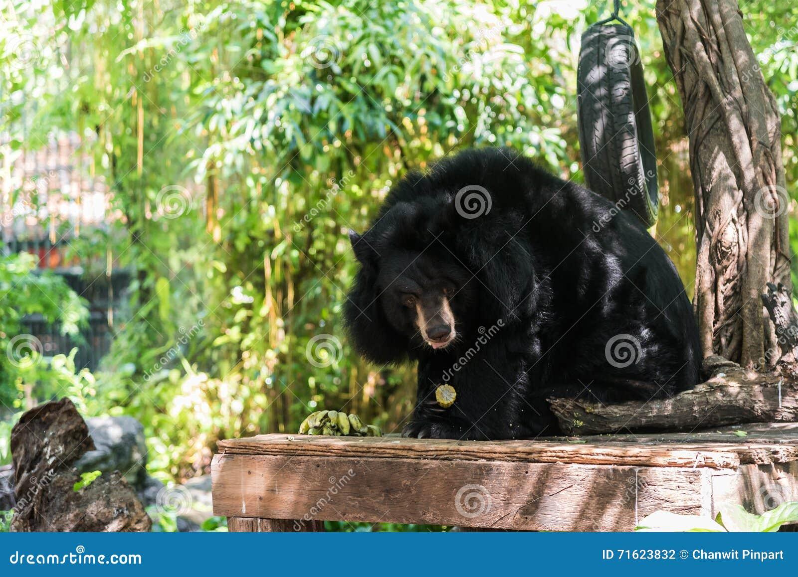 De Aziatische zwarte draagt (Ursus-thibetanus) etend graan