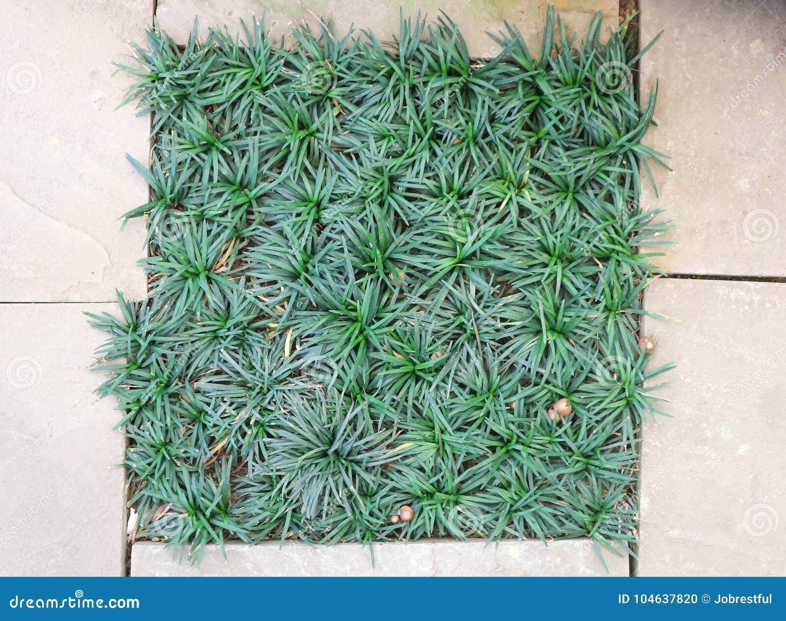 Download De Baard Van Mini Mondo Grass Of Van Slangen Stock Foto - Afbeelding bestaande uit groei, groen: 104637820
