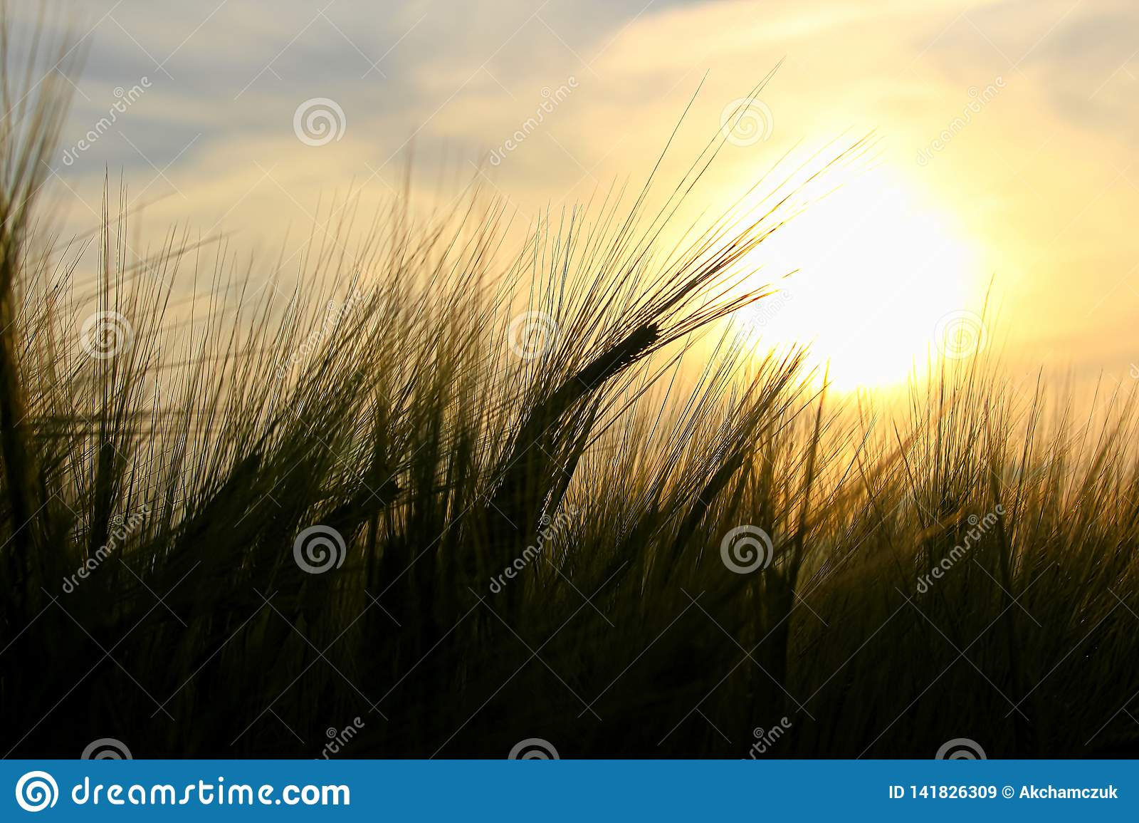 De baarden van gerst tegen een het plaatsen zon worden gesilhouetteerd die