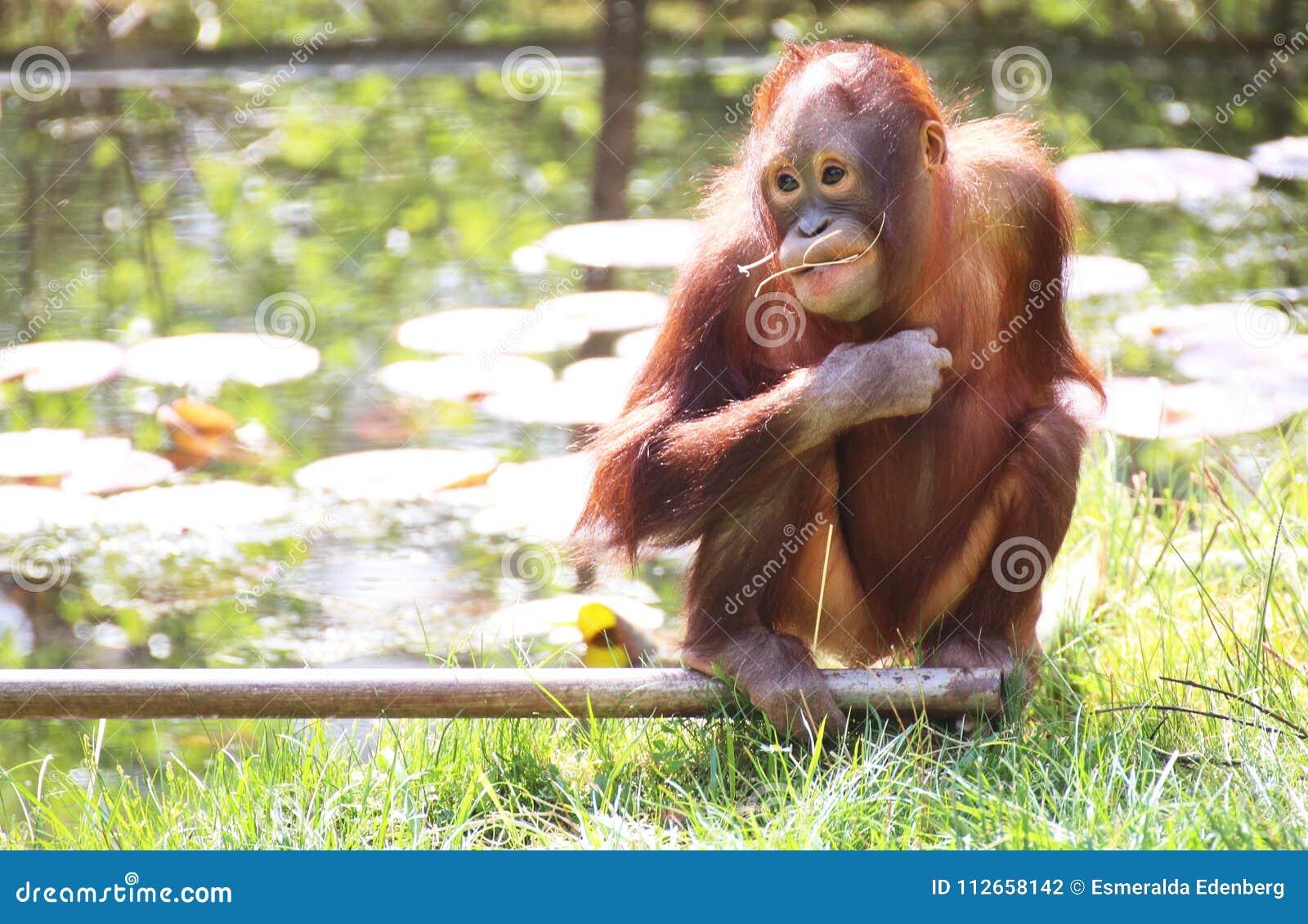 De baby van de orangoetan