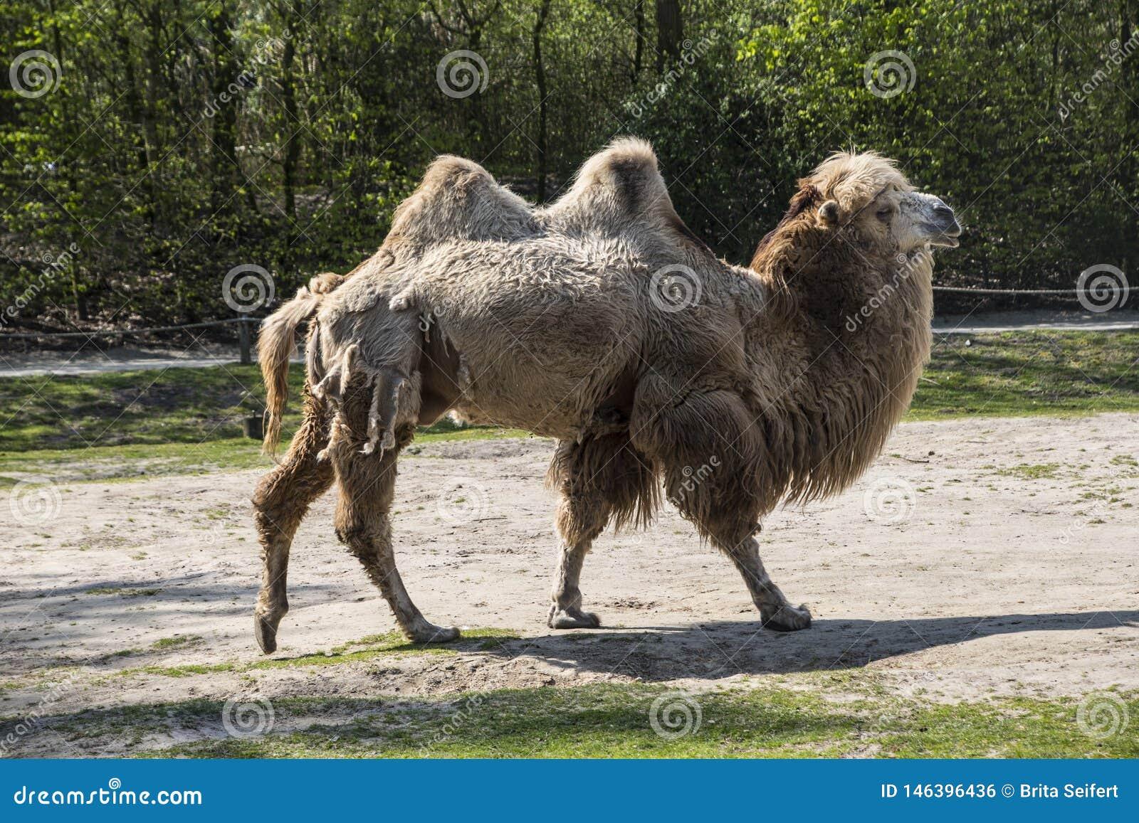 De Bactrische kameel, Camelus-bactrianus is groot, gelijk-toed ungulate inwoner aan de steppen van Centraal-Azi?
