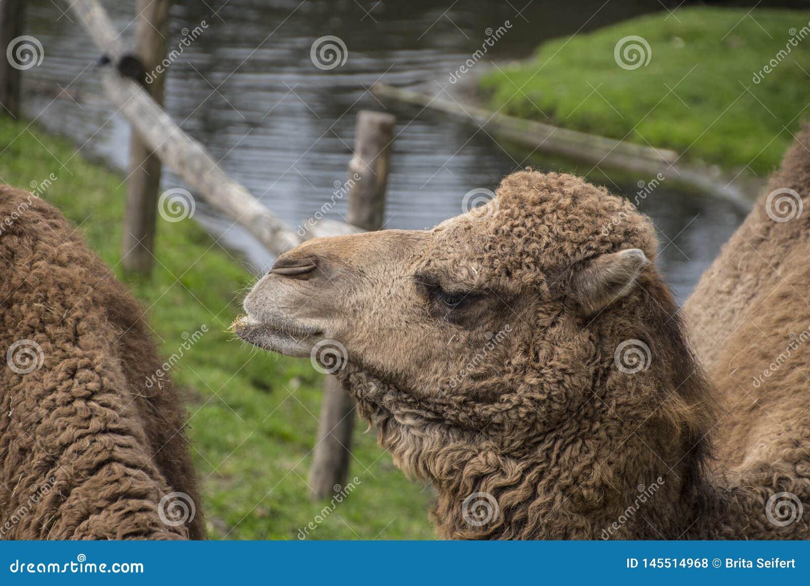 De Bactrische kameel, Camelus-bactrianus is groot, gelijk-toed ungulate inwoner aan de steppen van Centraal-Azi