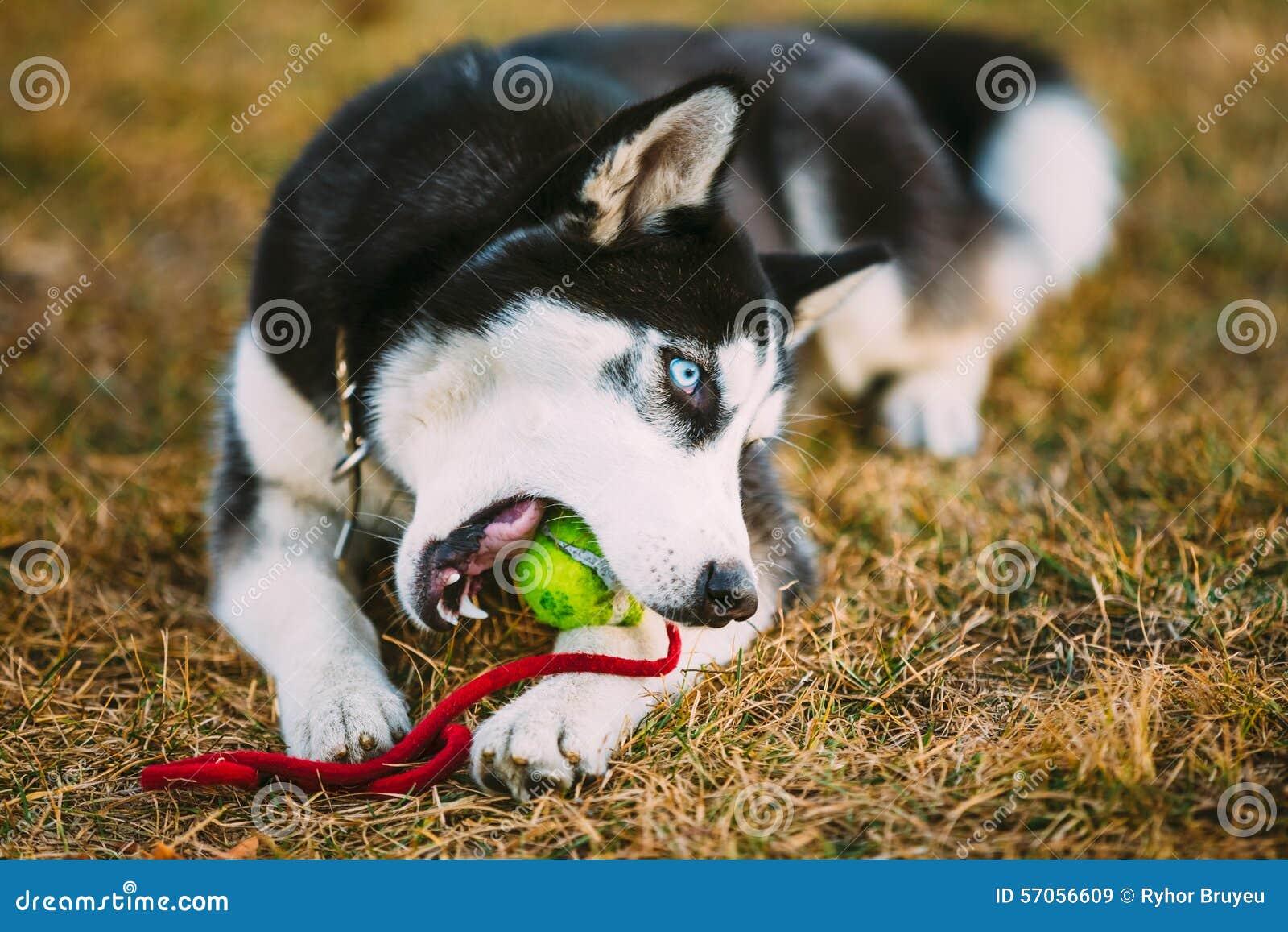 De Bal van hondhusky puppy plays with tennis