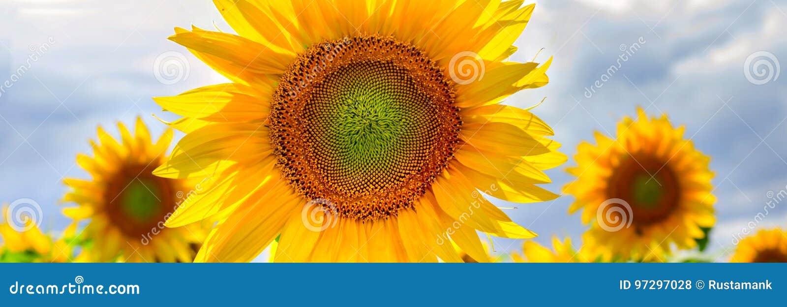De banner of de achtergronden van het de zomerweb met bloemen van zonnebloem