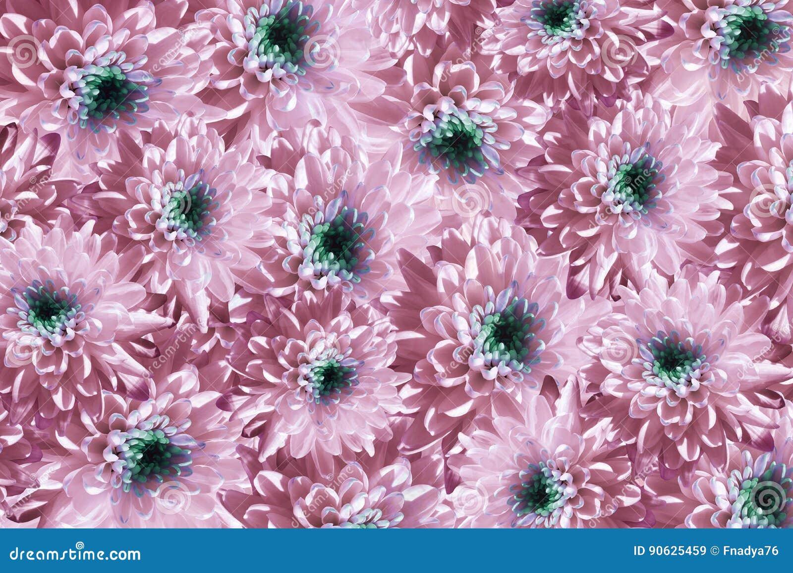de banner van bloemen background bloemen wit-roze chrysanten veel