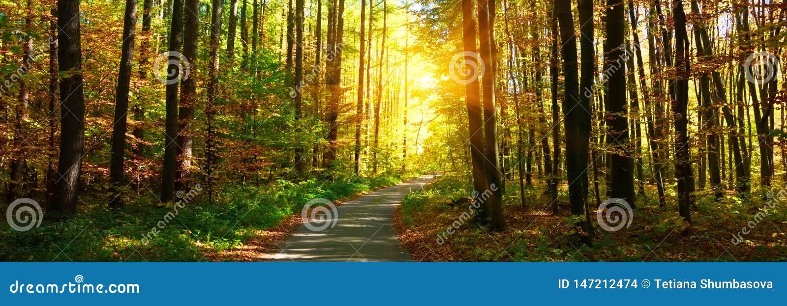 3:1 de banni?re For?t d automne avec le sentier pi?ton menant dans la sc?ne Rayons de lumi?re du soleil par les branches d arbre