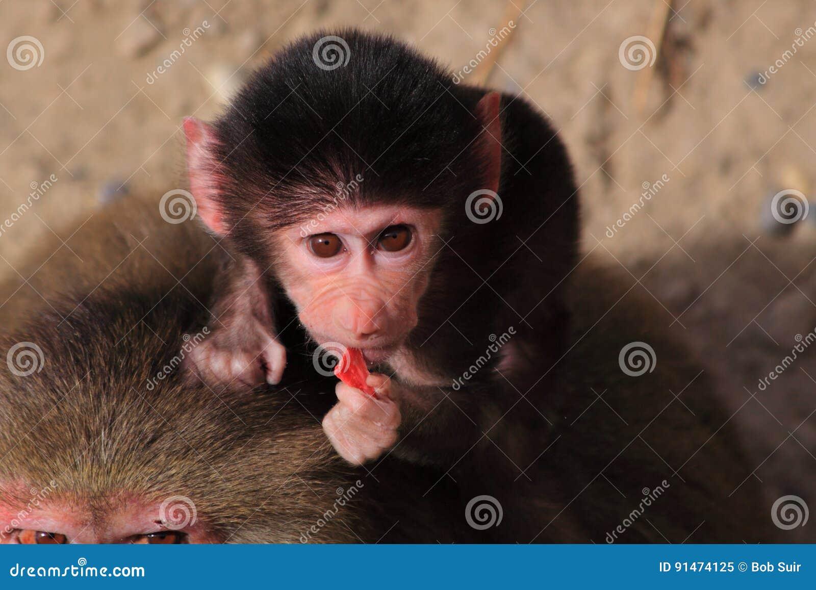 De baviaan van babyhamadryas het eten