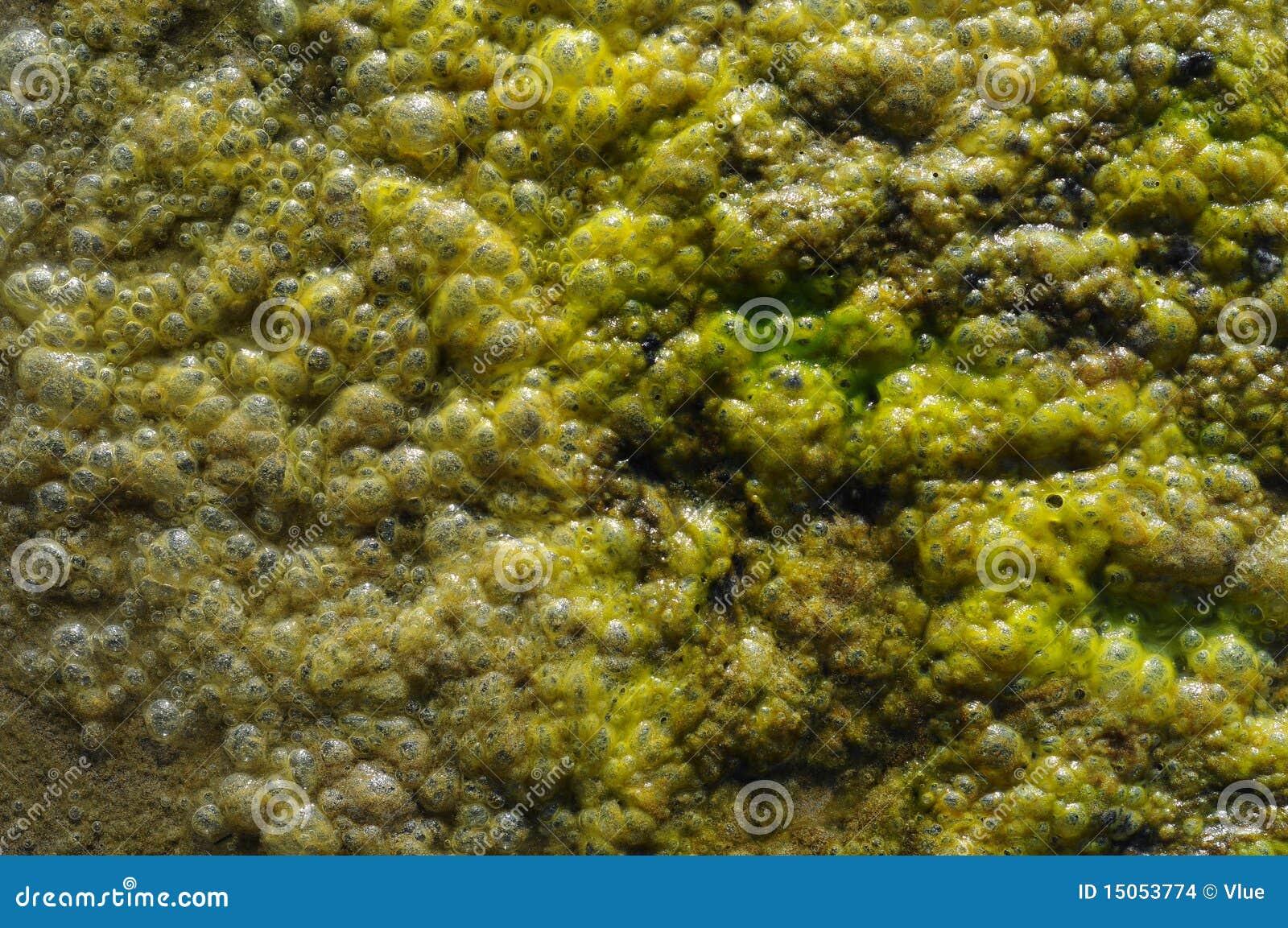 De Bellen van algen
