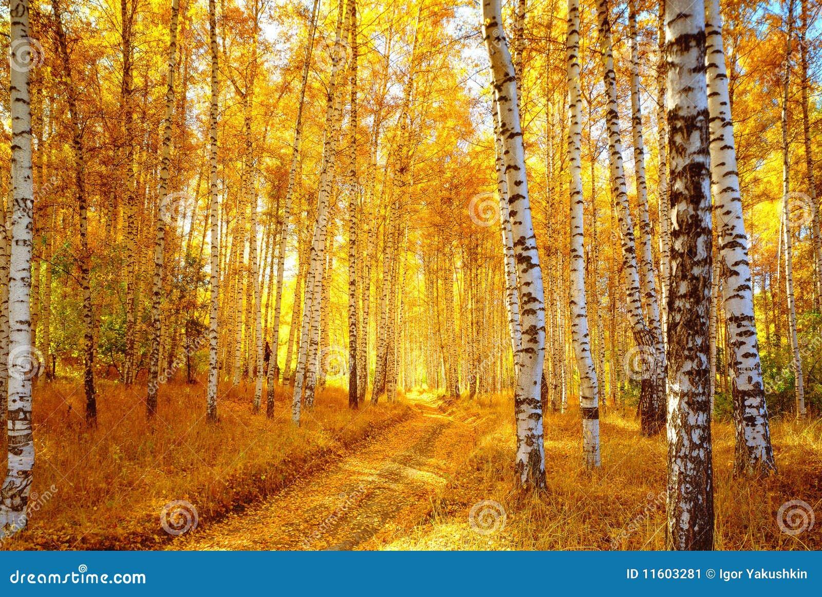 De berkbos van de herfst