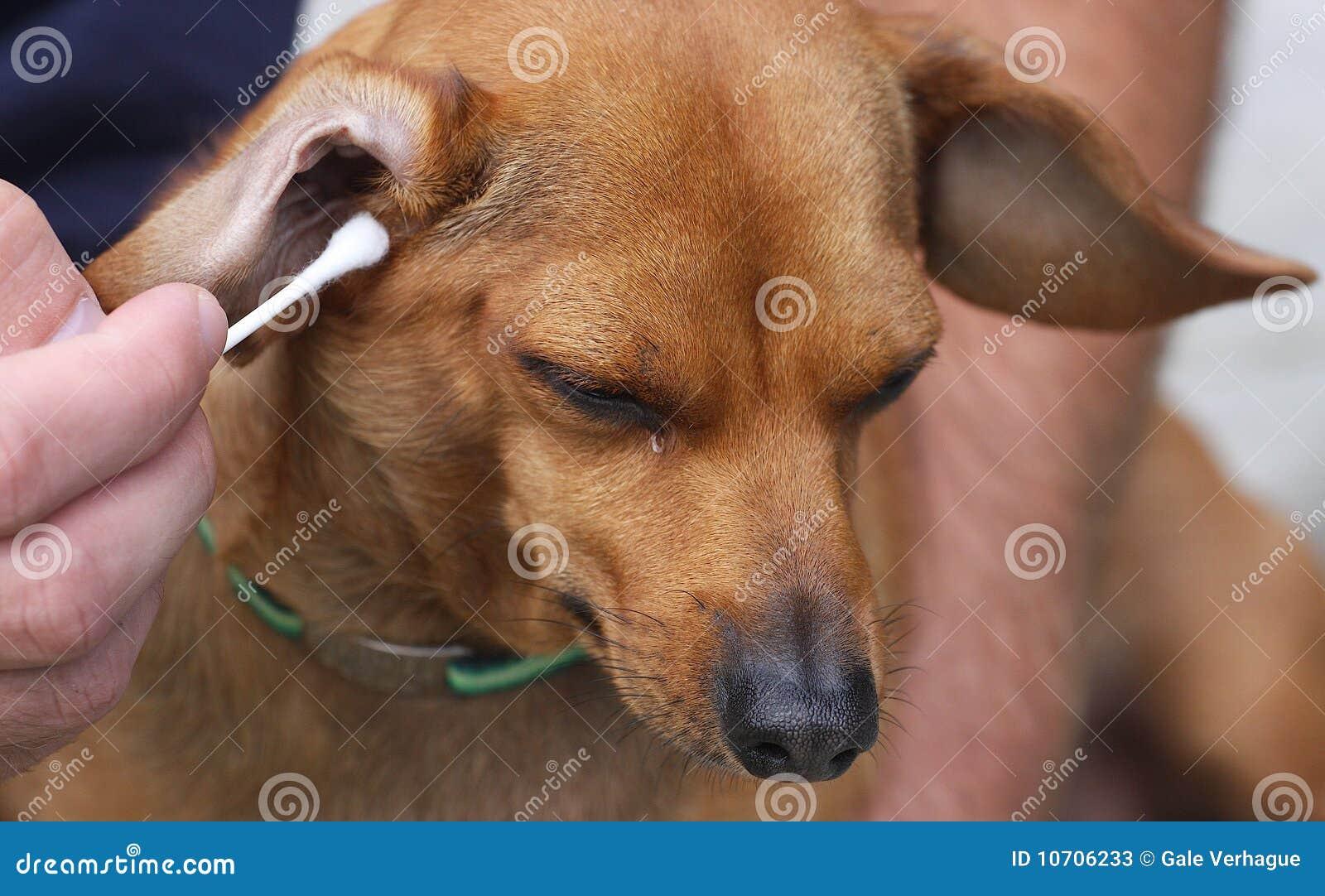 De Besmetting van het oor