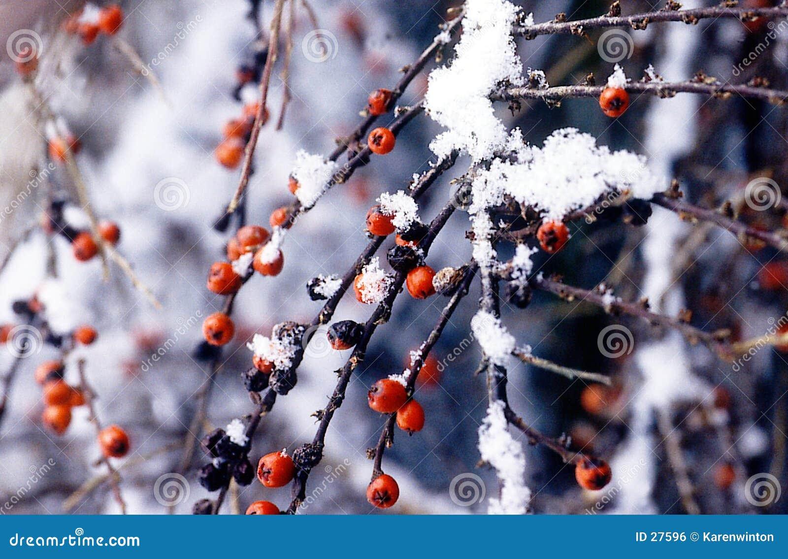 De bessen van de winter in sneeuw