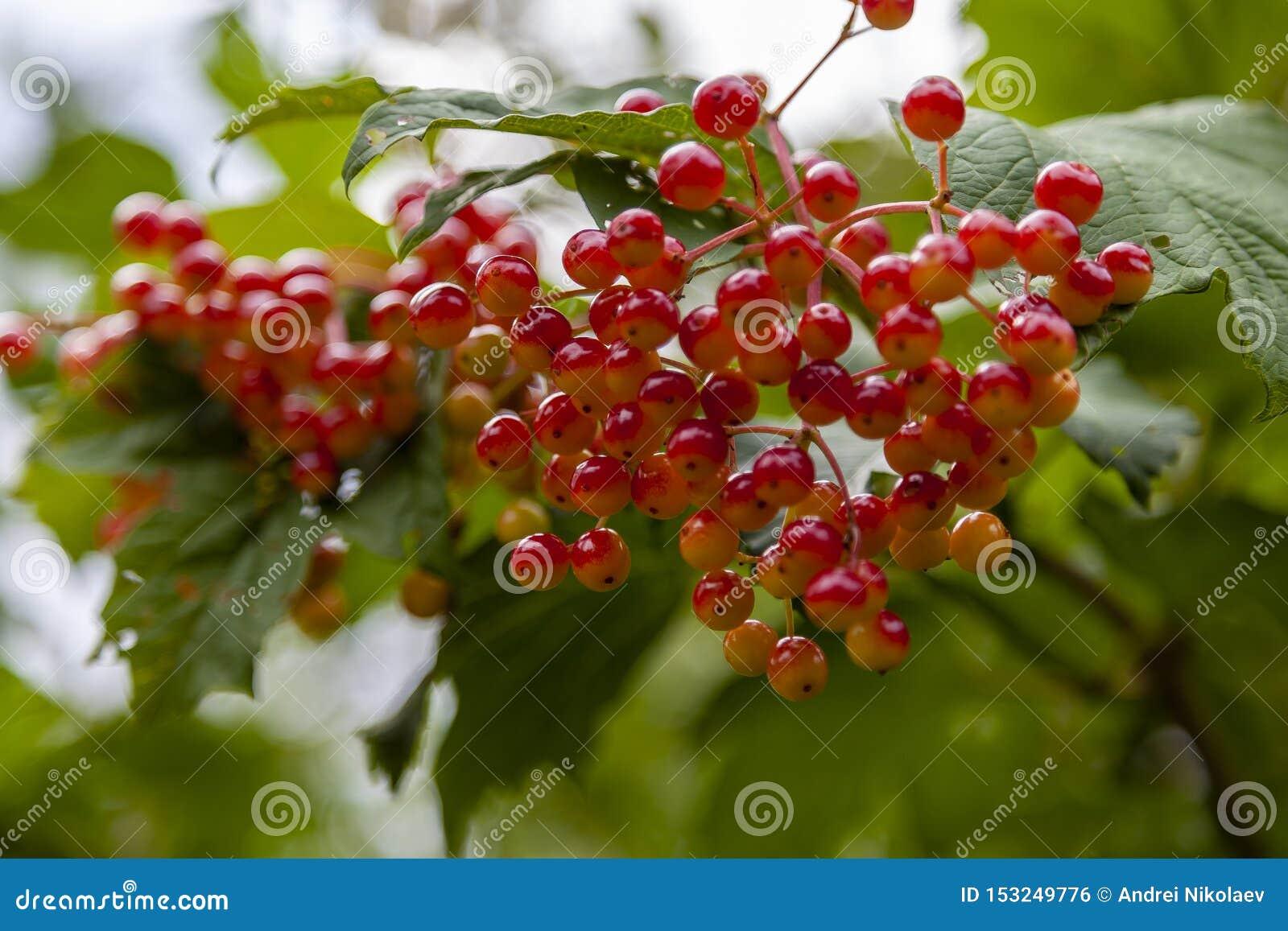 De bessen van de viburnumboom
