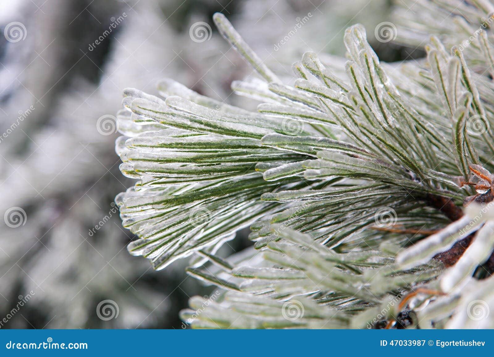 De bevroren Boom van de Pijnboom