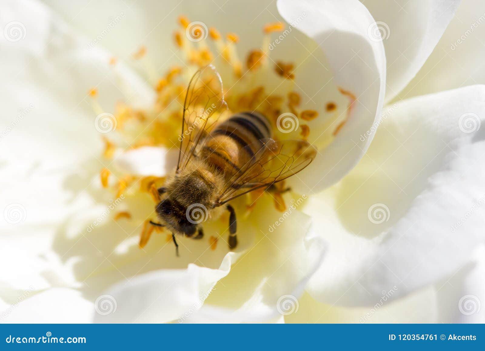 De bij die onderaan het centrum van een wit kijken nam seaching voor nectar toe