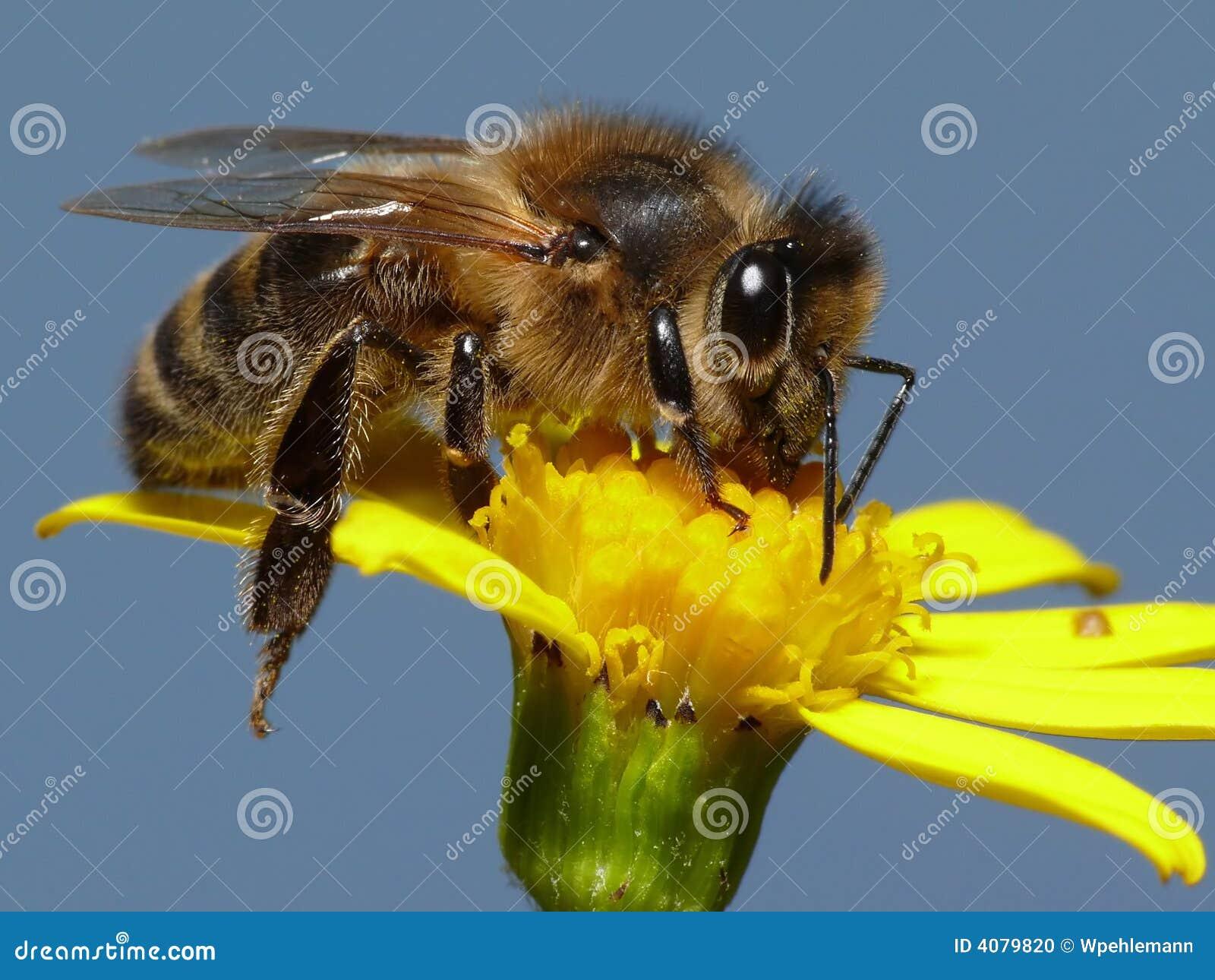 De bij van de honing