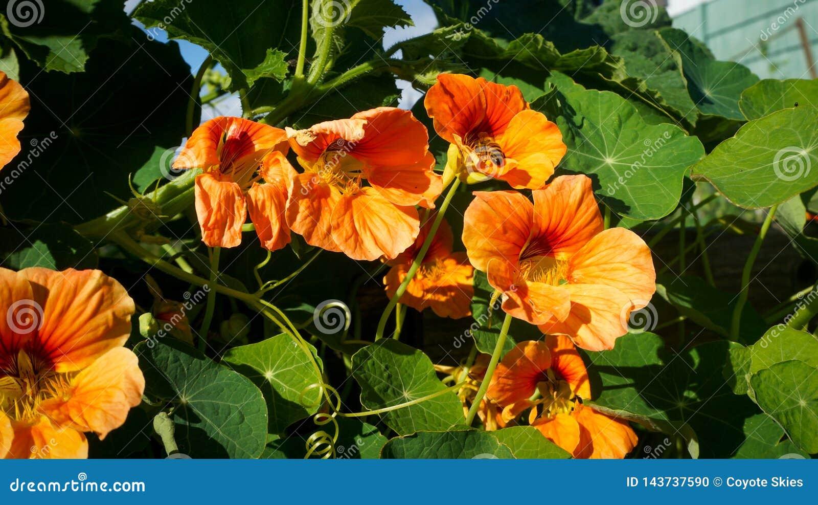 De bij verzamelt stuifmeel van oranje bloemen