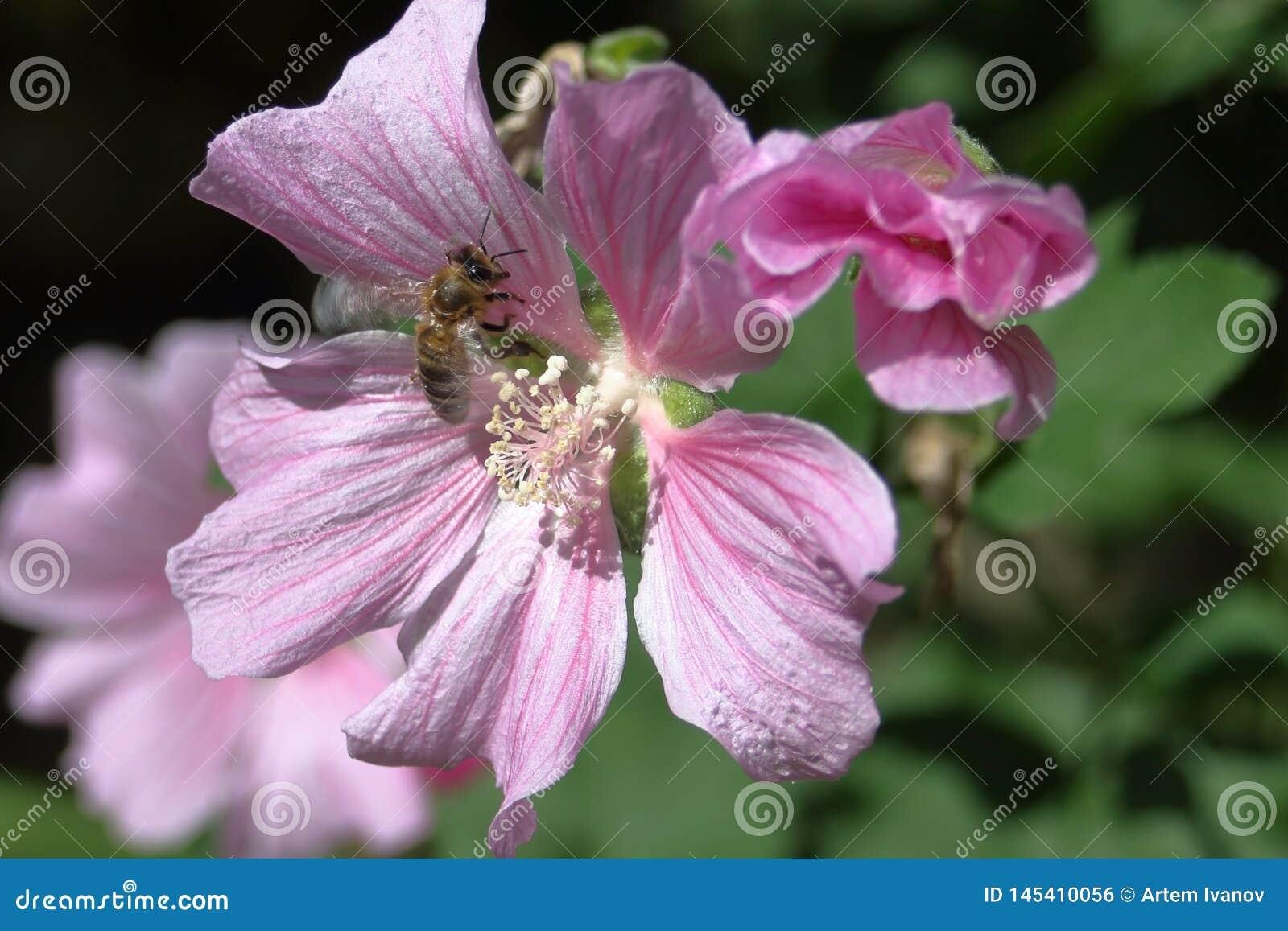 De bij zit op een roze bloem van Sidalcea