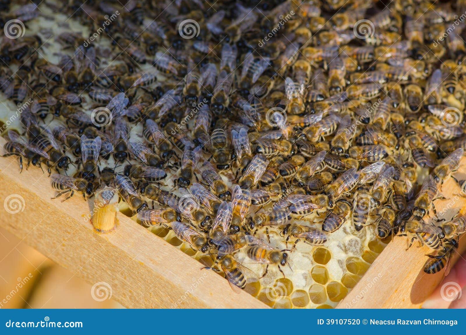 De bijen behandelen de larven