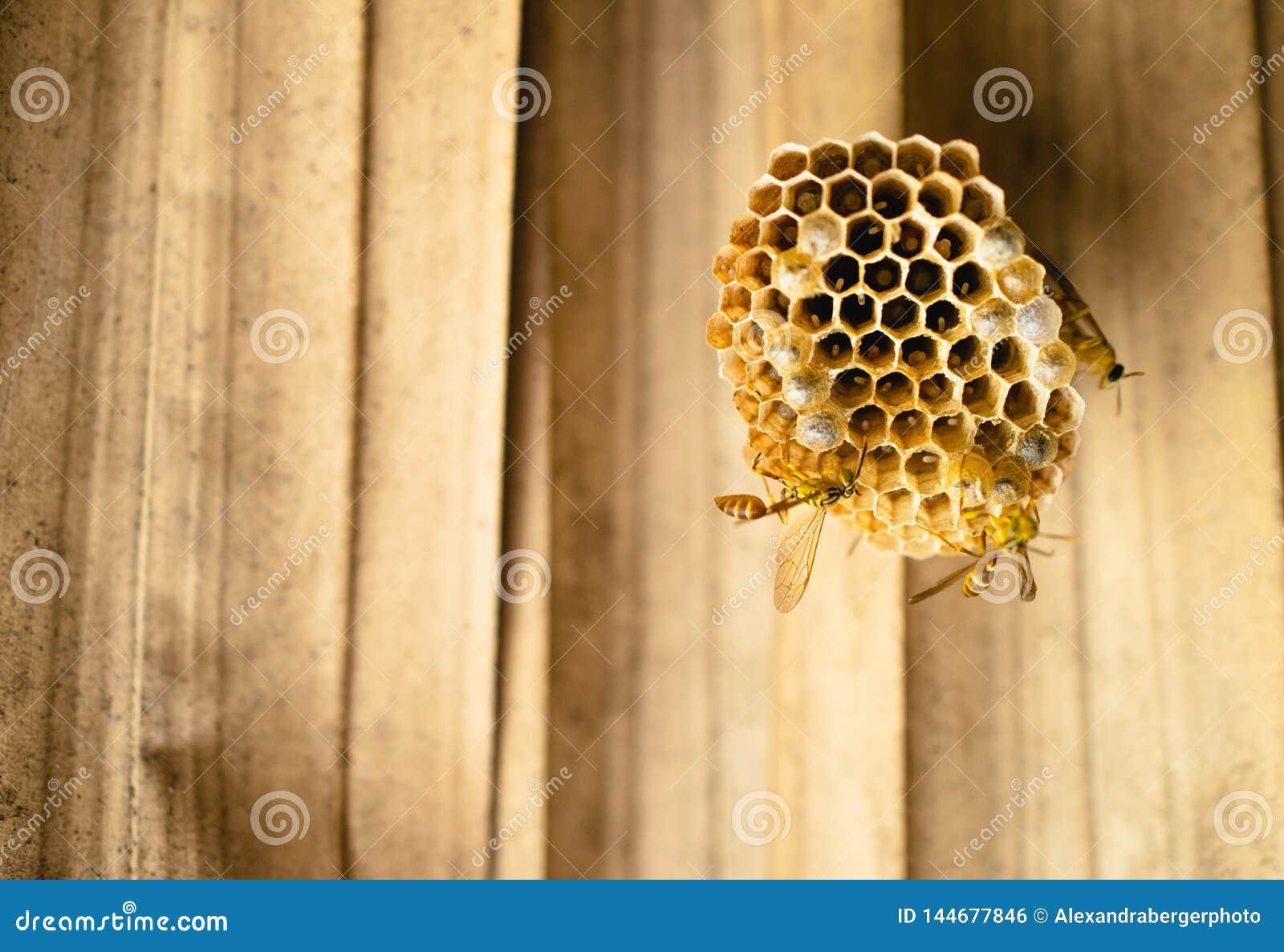 De bijen, wespen bouwen een nest samen, met eieren wordt gevuld dat