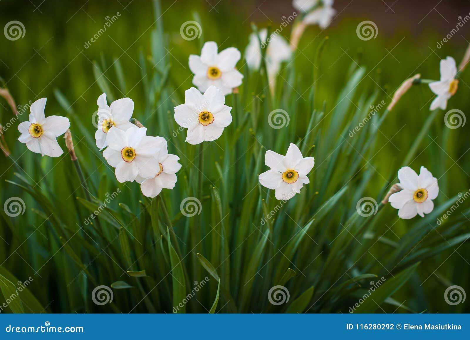 De Bladeren die van bloemennarcissus color white with green in Tuin groeien