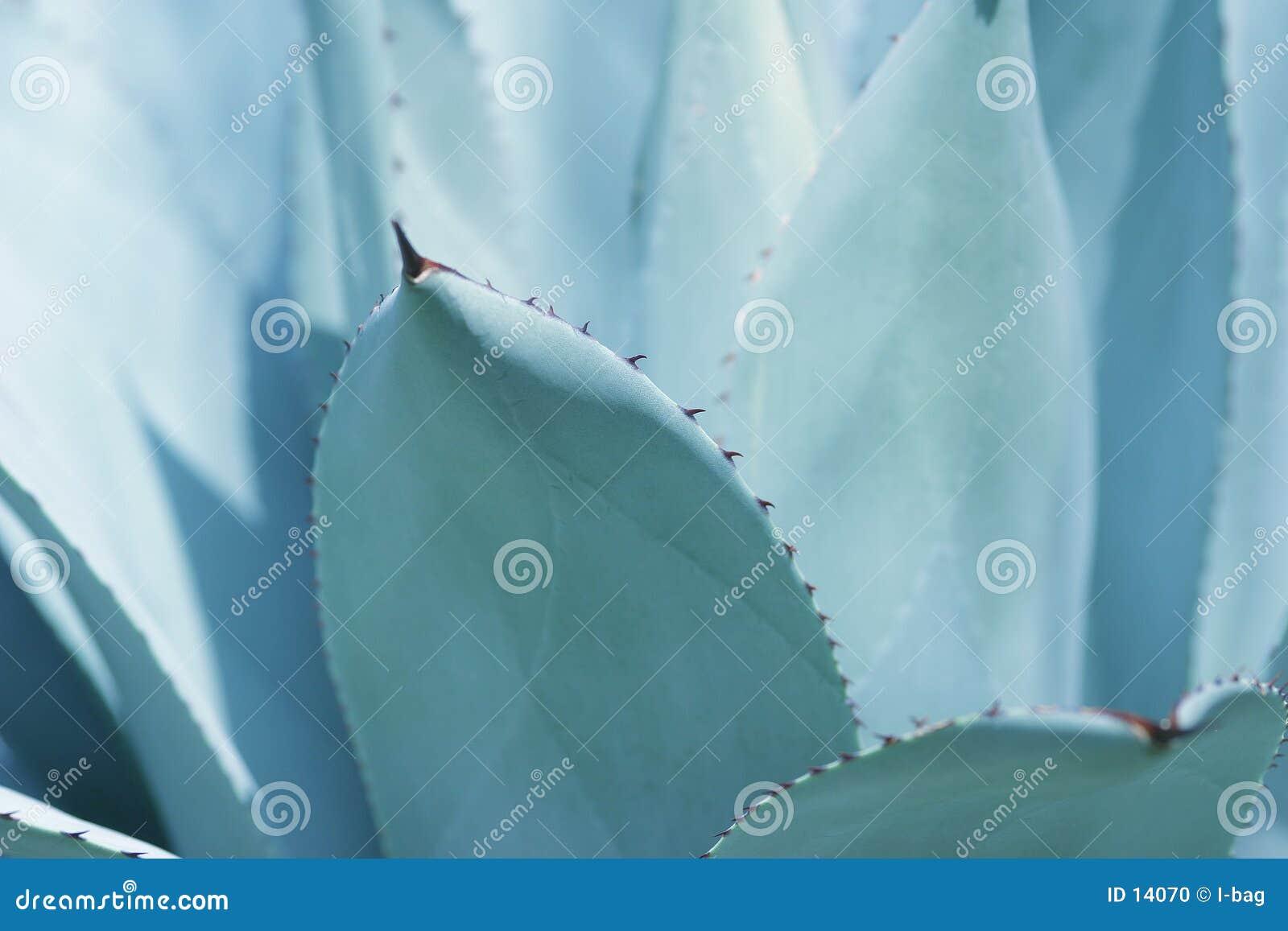 De bladeren van de cactus