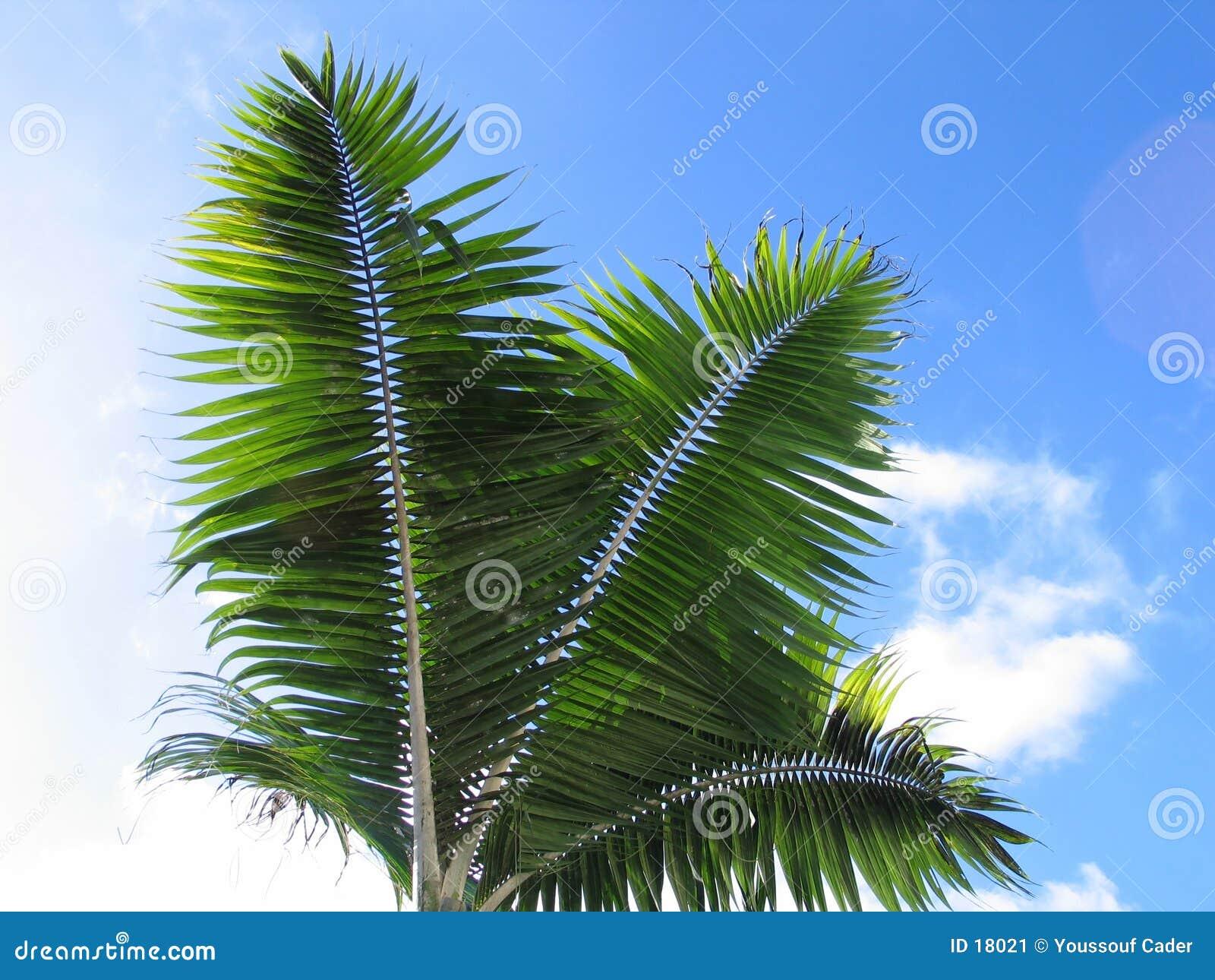 De bladeren van de palm