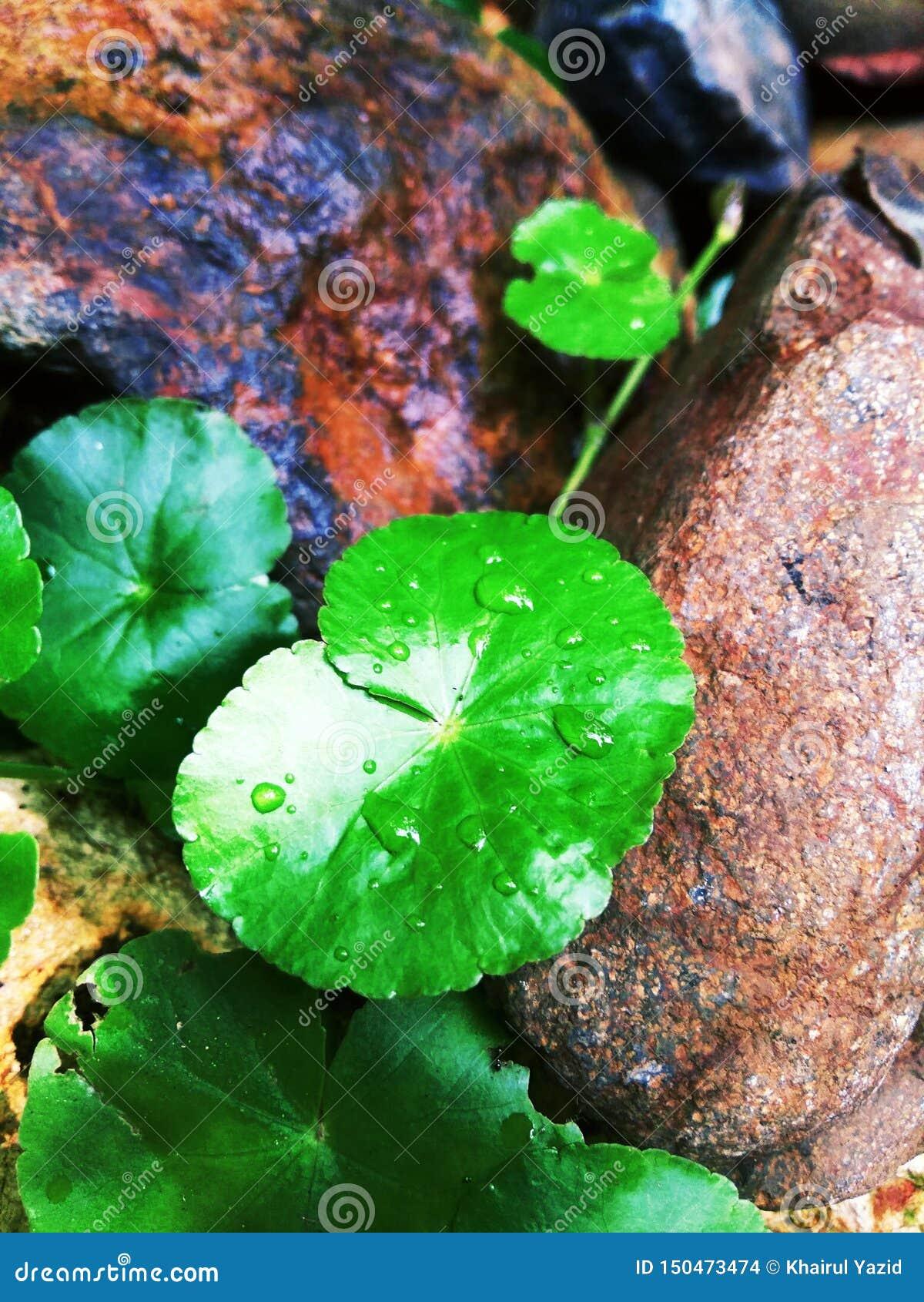 De bladeren van de Gotukola groeien in de nasleep van rotsen