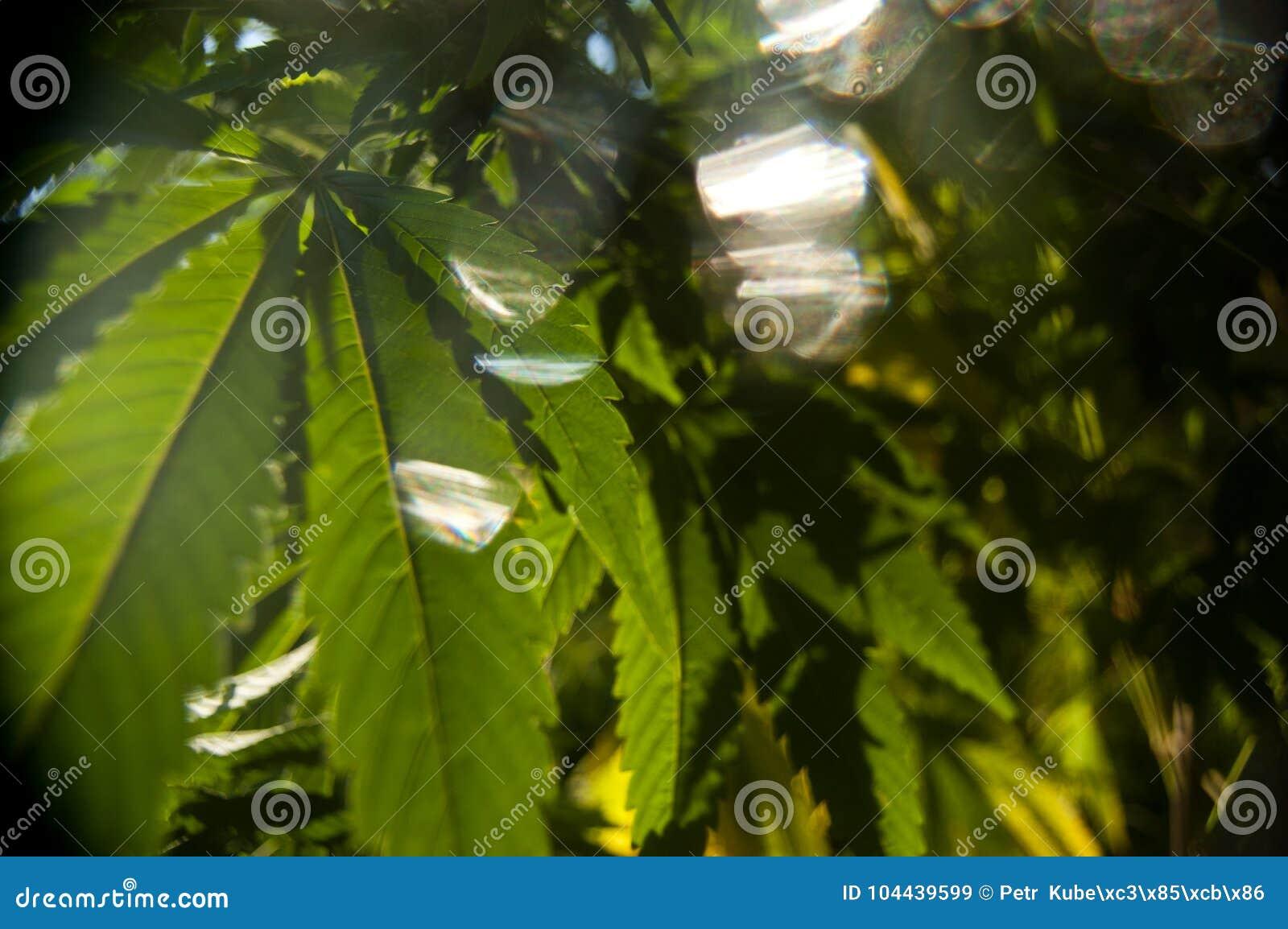 De bladeren van marihuanaglans in eeuwig glanzen van zon