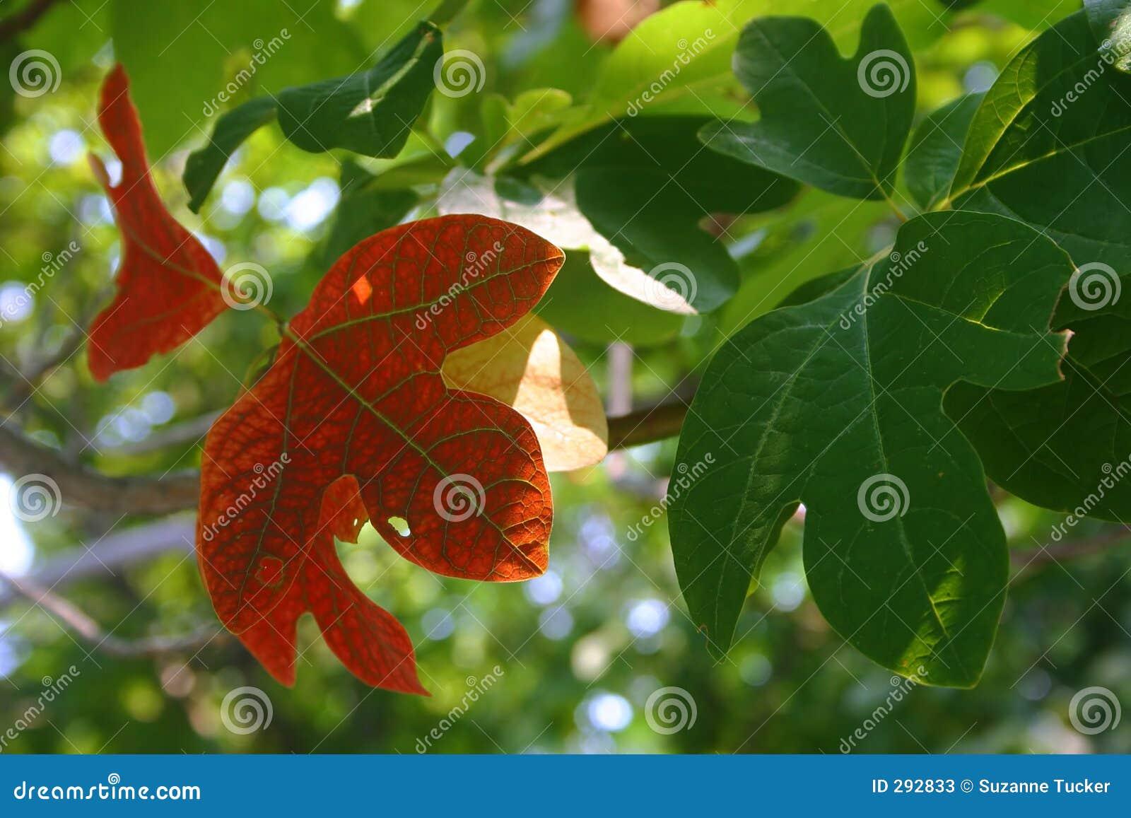 De bladeren van sassafras