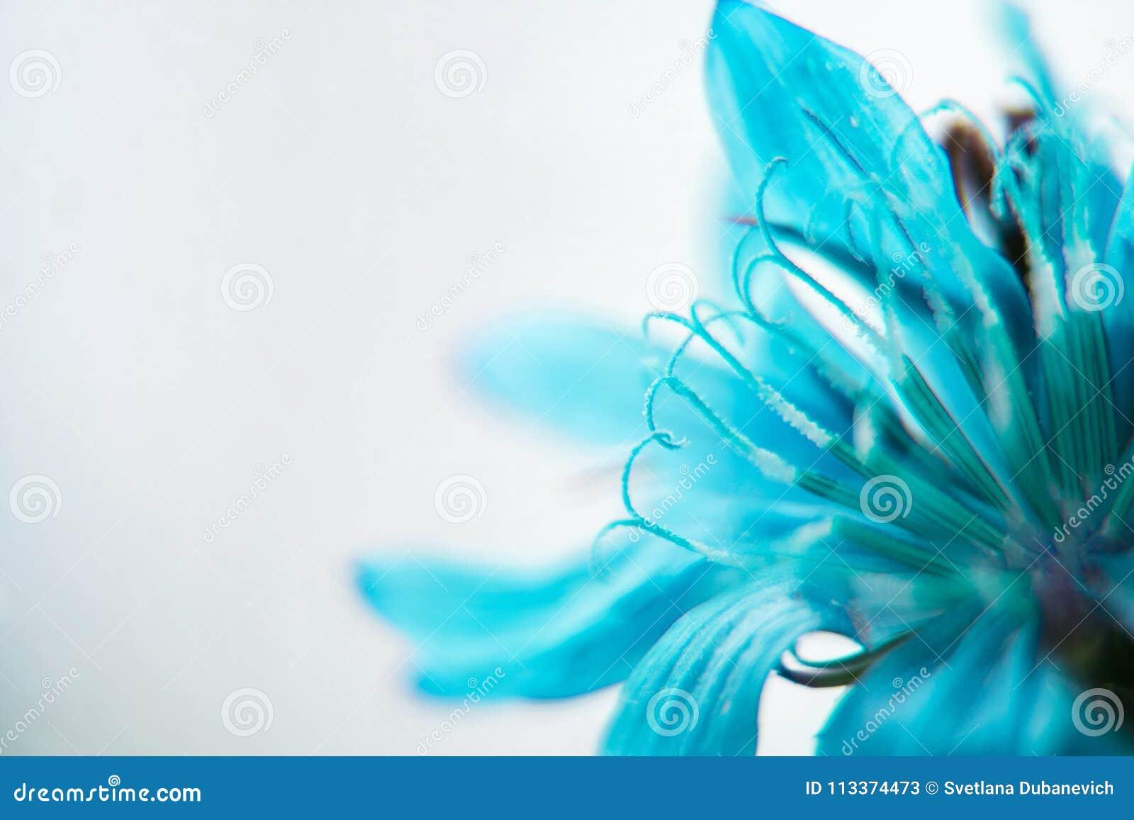 De blauwe close-up van de Bloem cornflower