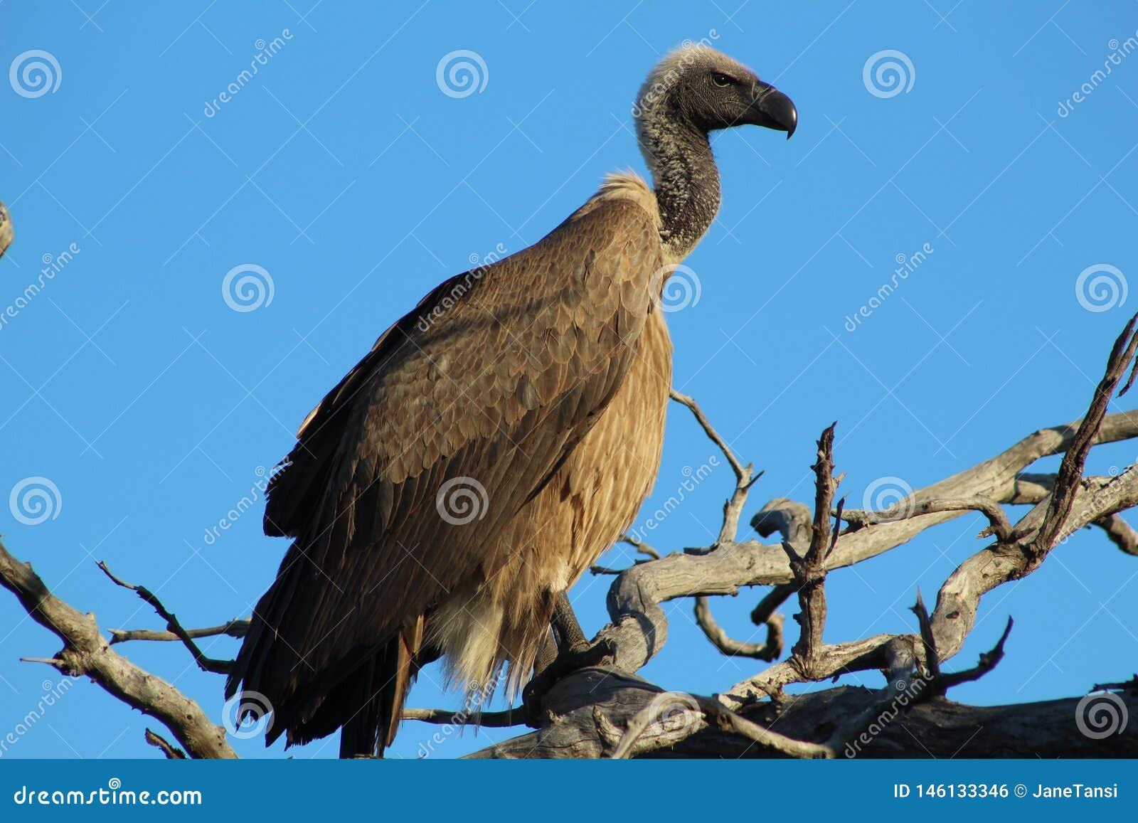 De Blauwe Hemel van kaapgriffon vulture in tree against