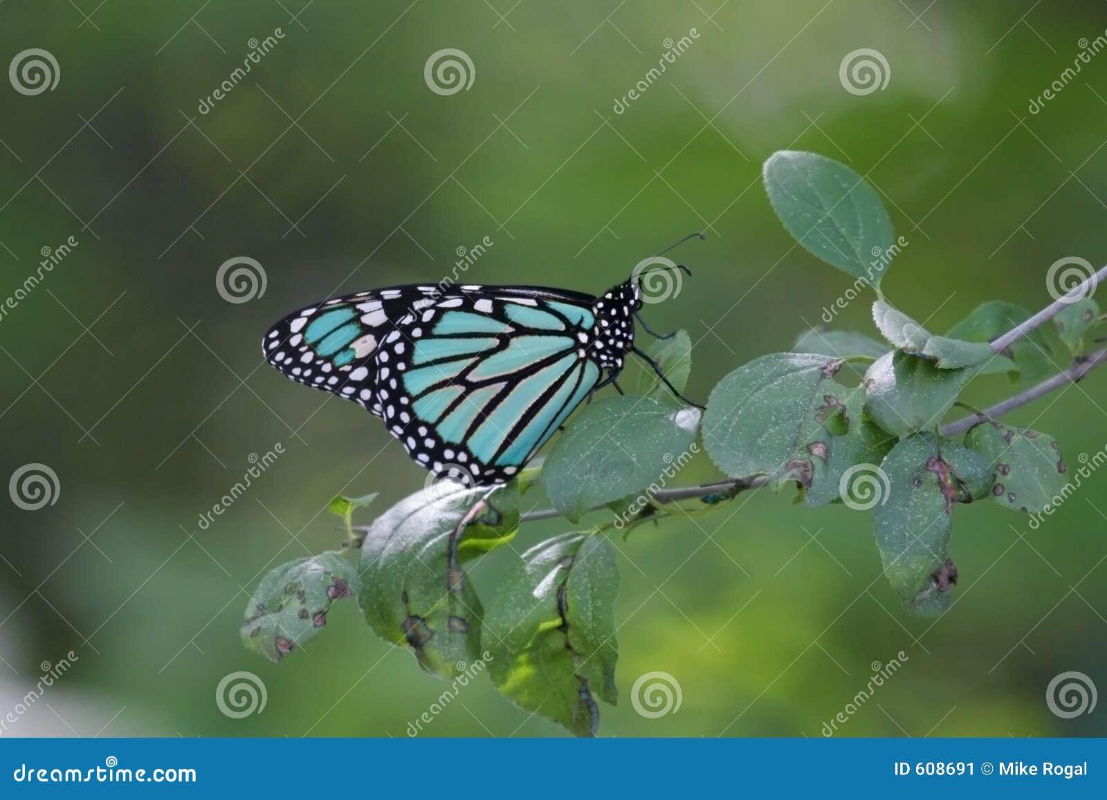 De blauwe Vlinder van de Monarch