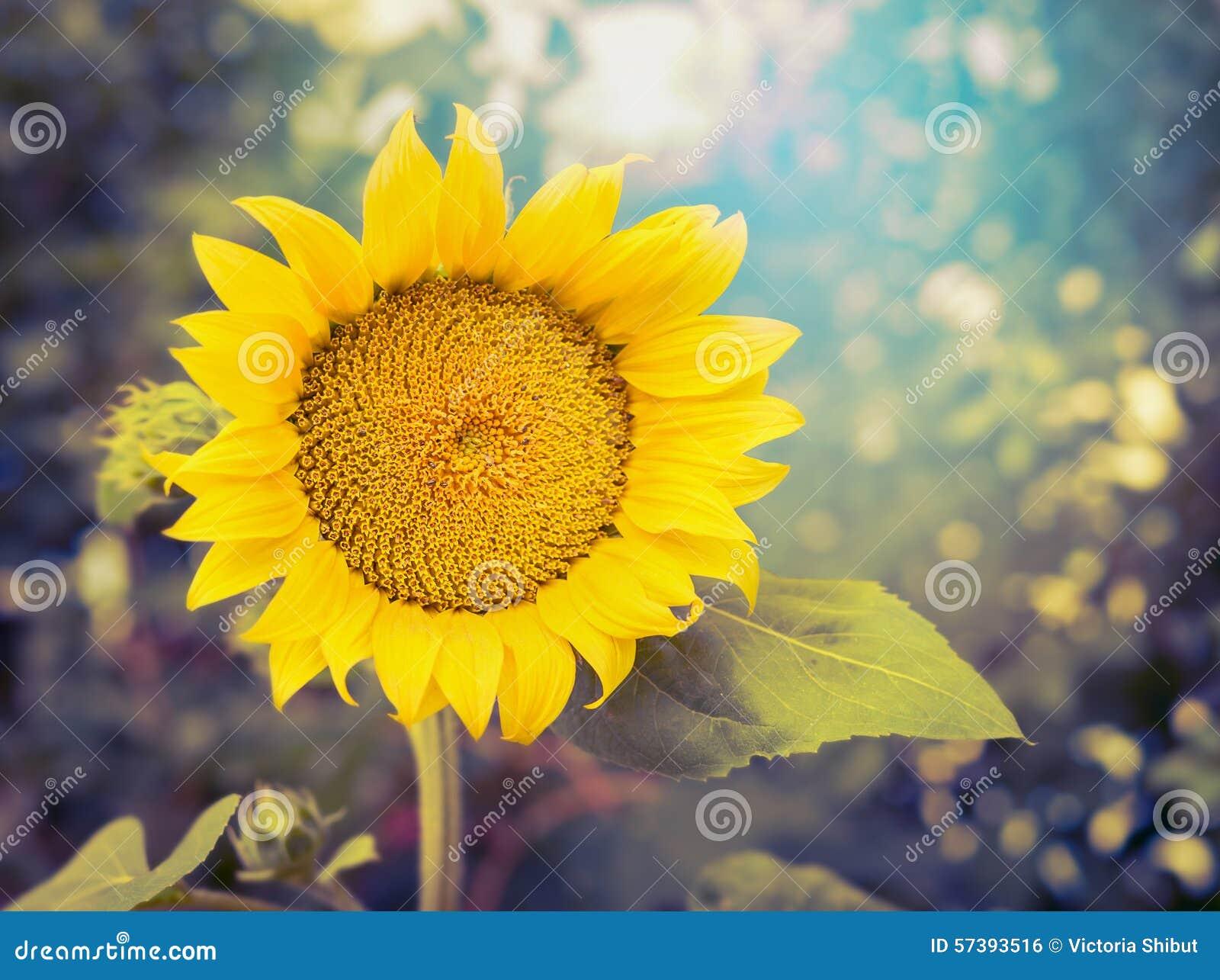 De blije zonnebloem op aardachtergrond, sluit omhoog