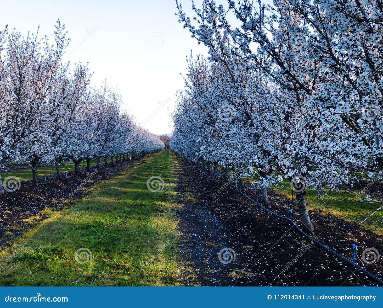 De bloei van de amandelboomgaard