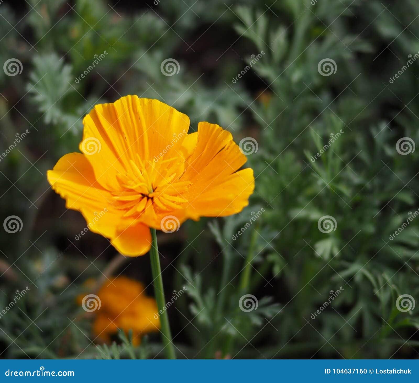 Download De Bloei Van Californië Poppy Or Eschscholzia Californica In Stock Foto - Afbeelding bestaande uit californië, anthers: 104637160
