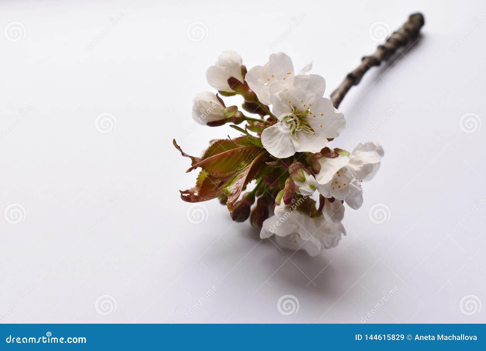 De bloei van de de lentekers op de witte achtergrond