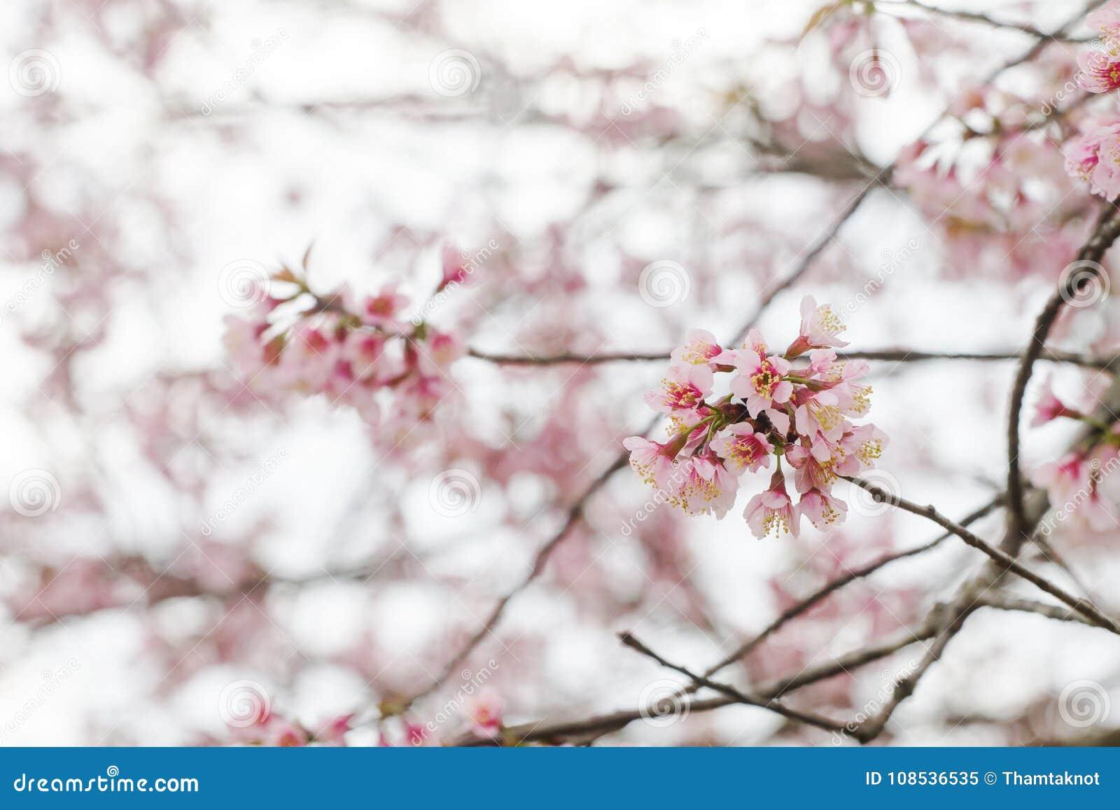 De bloei van de Prunus cerasoides bloem is volledig van koude berg als achtergrond