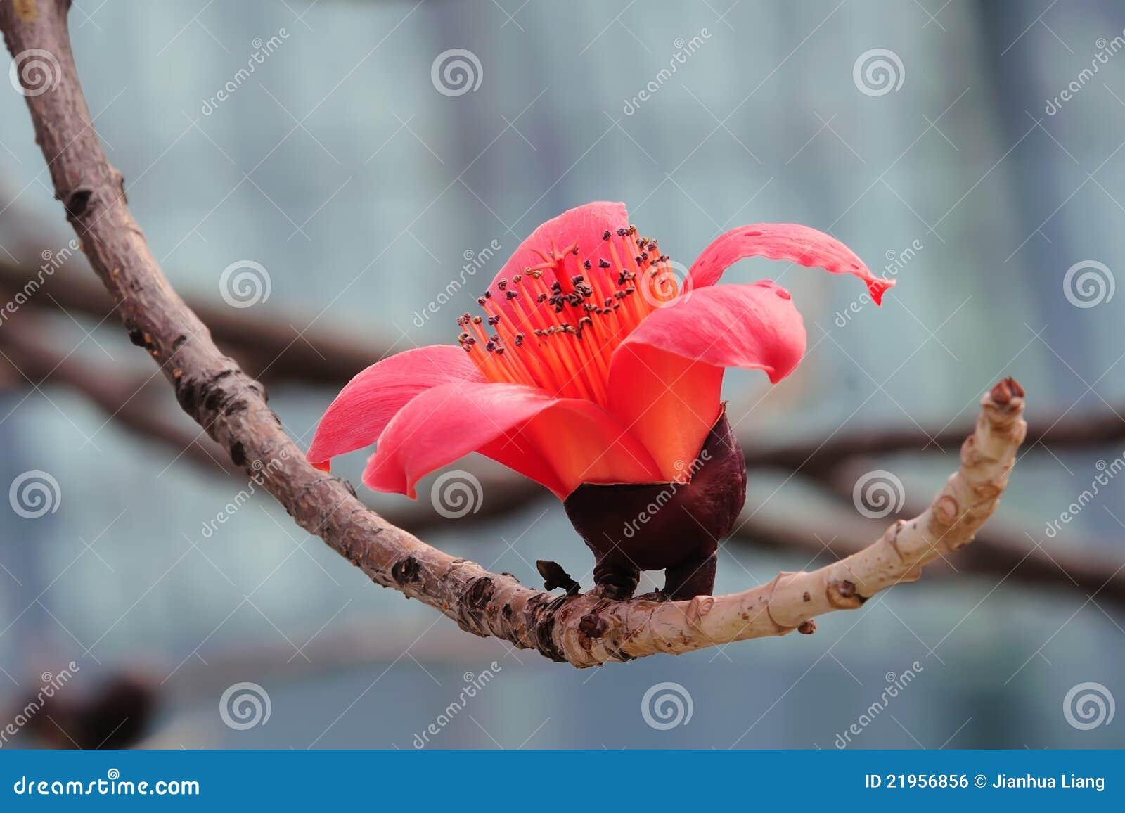 De bloeiende bloem van de Kapok in de lente