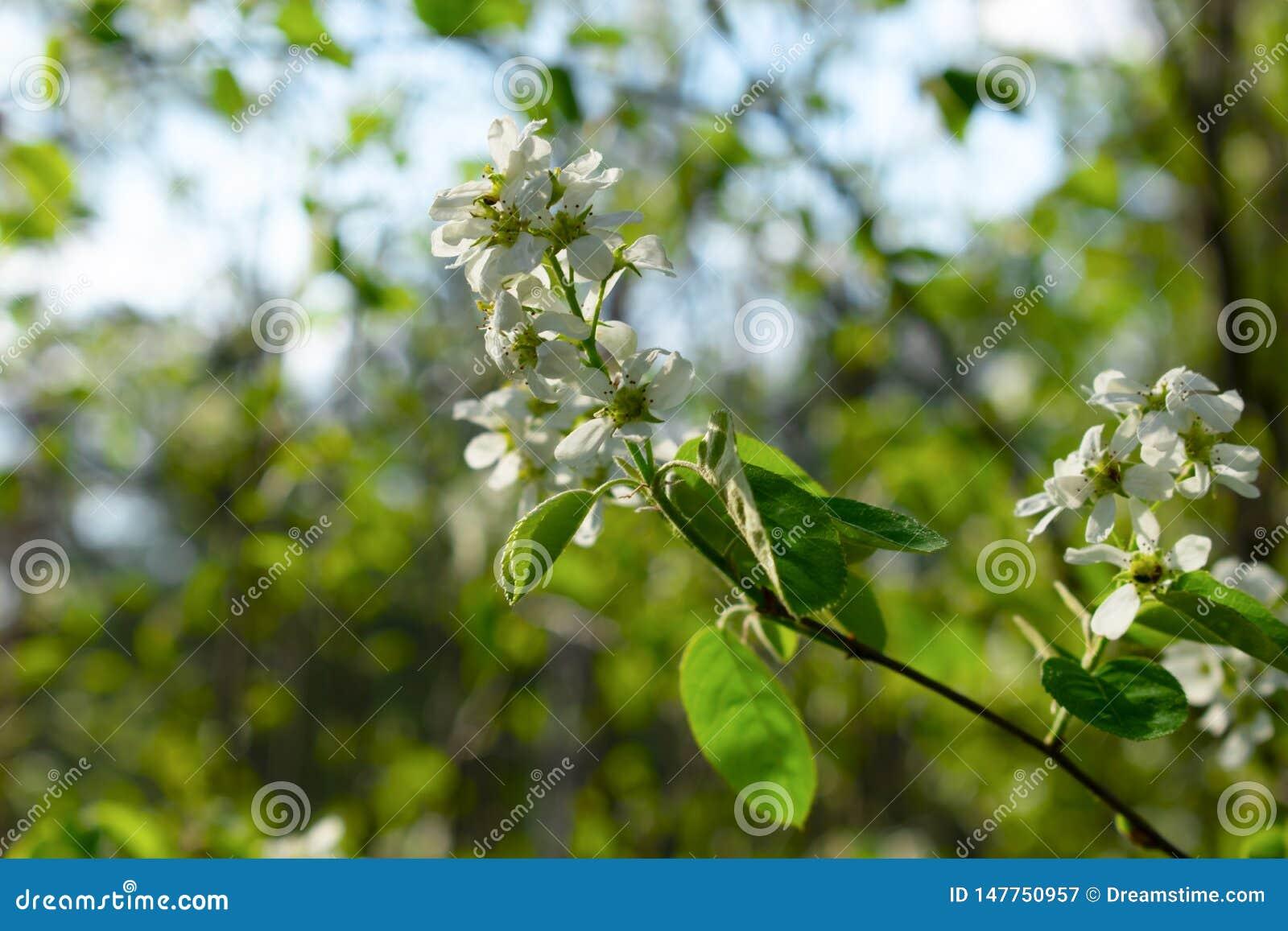 De bloeiende close-up van de boomtak met vage achtergrond