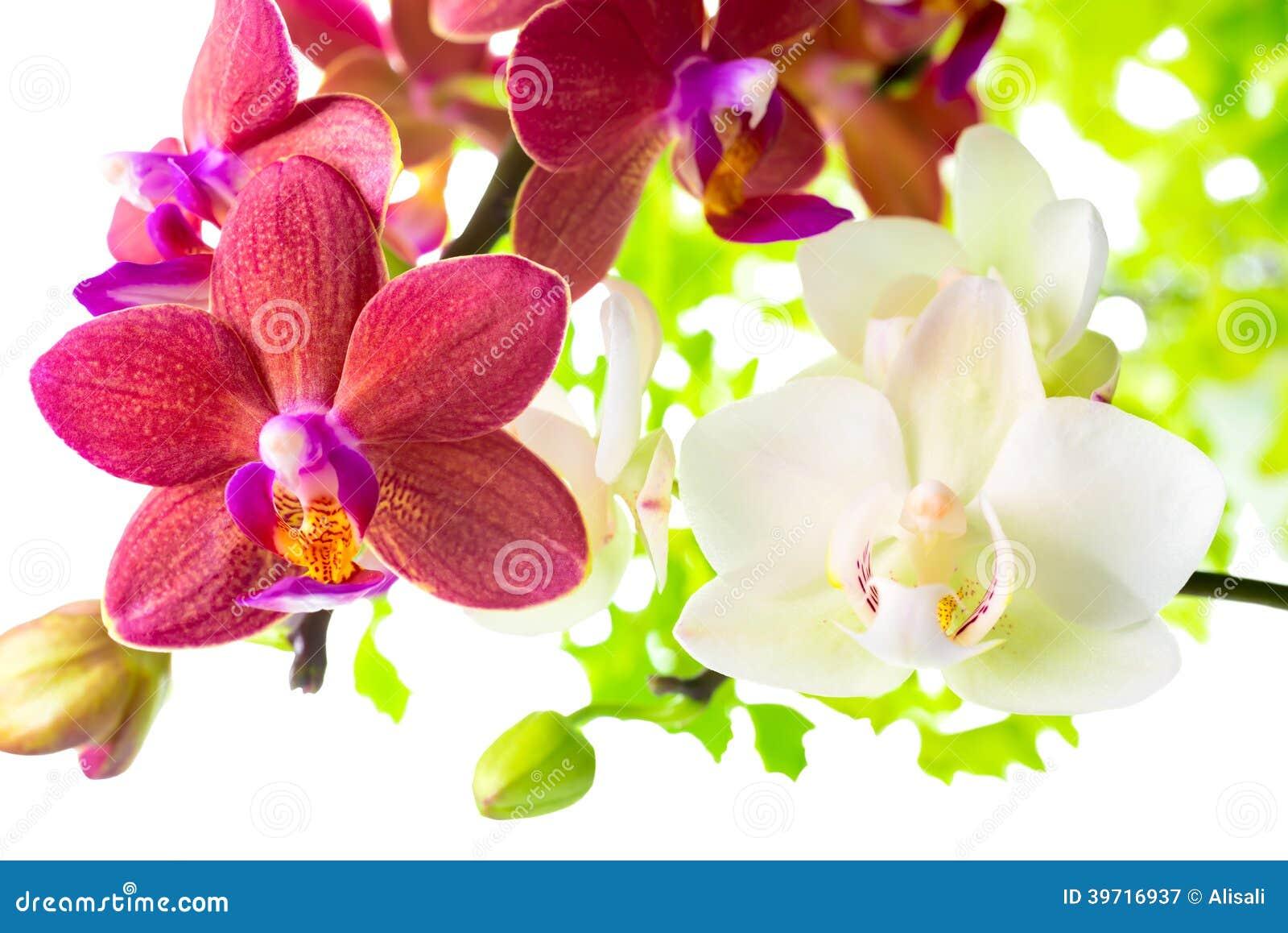 De orchidee van phalaenopsis op rood royalty vrije stock ...