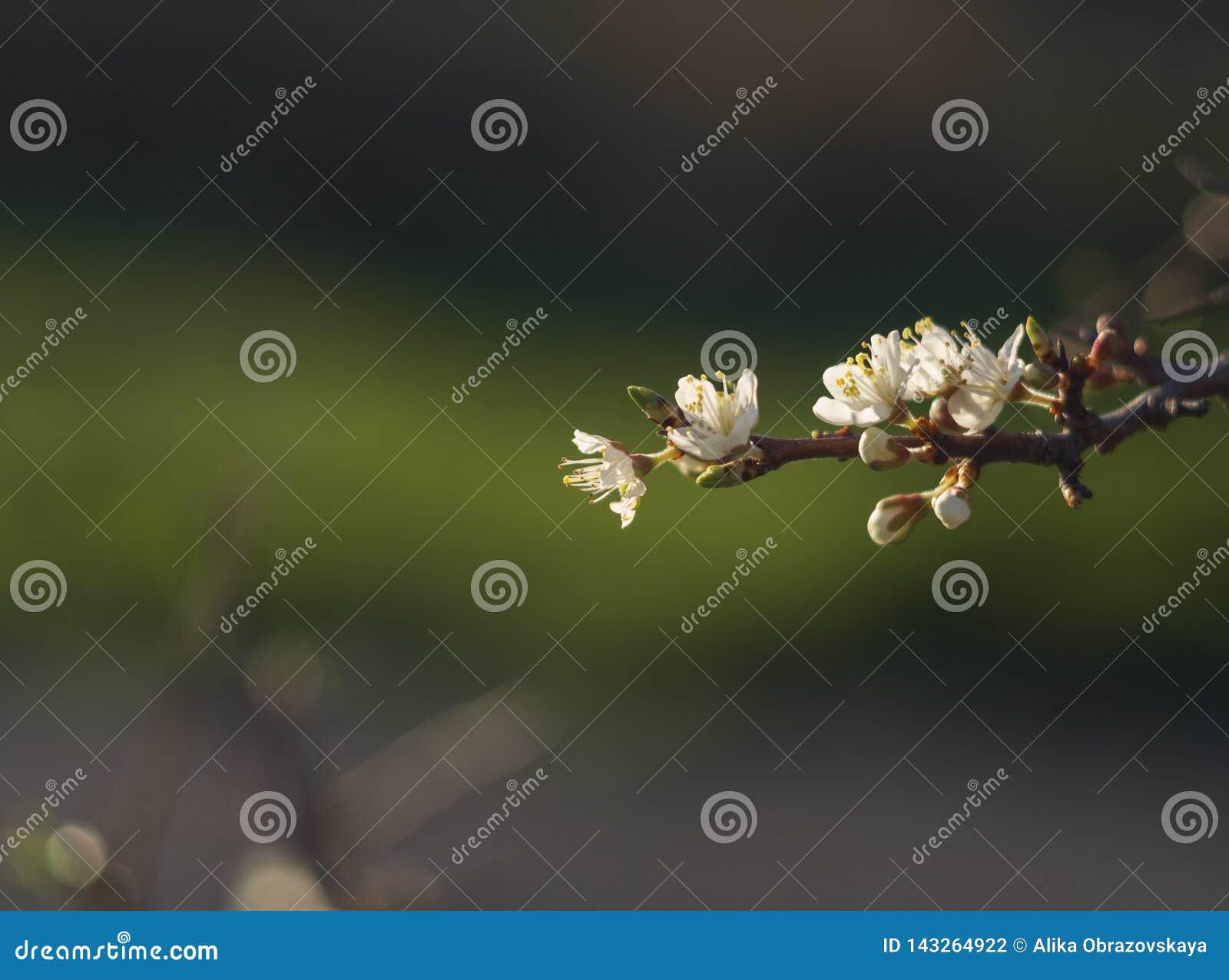 De bloeiende sleedoorn van doornbush, Prunus-spinosa in de warme de lentezon in Griekenland