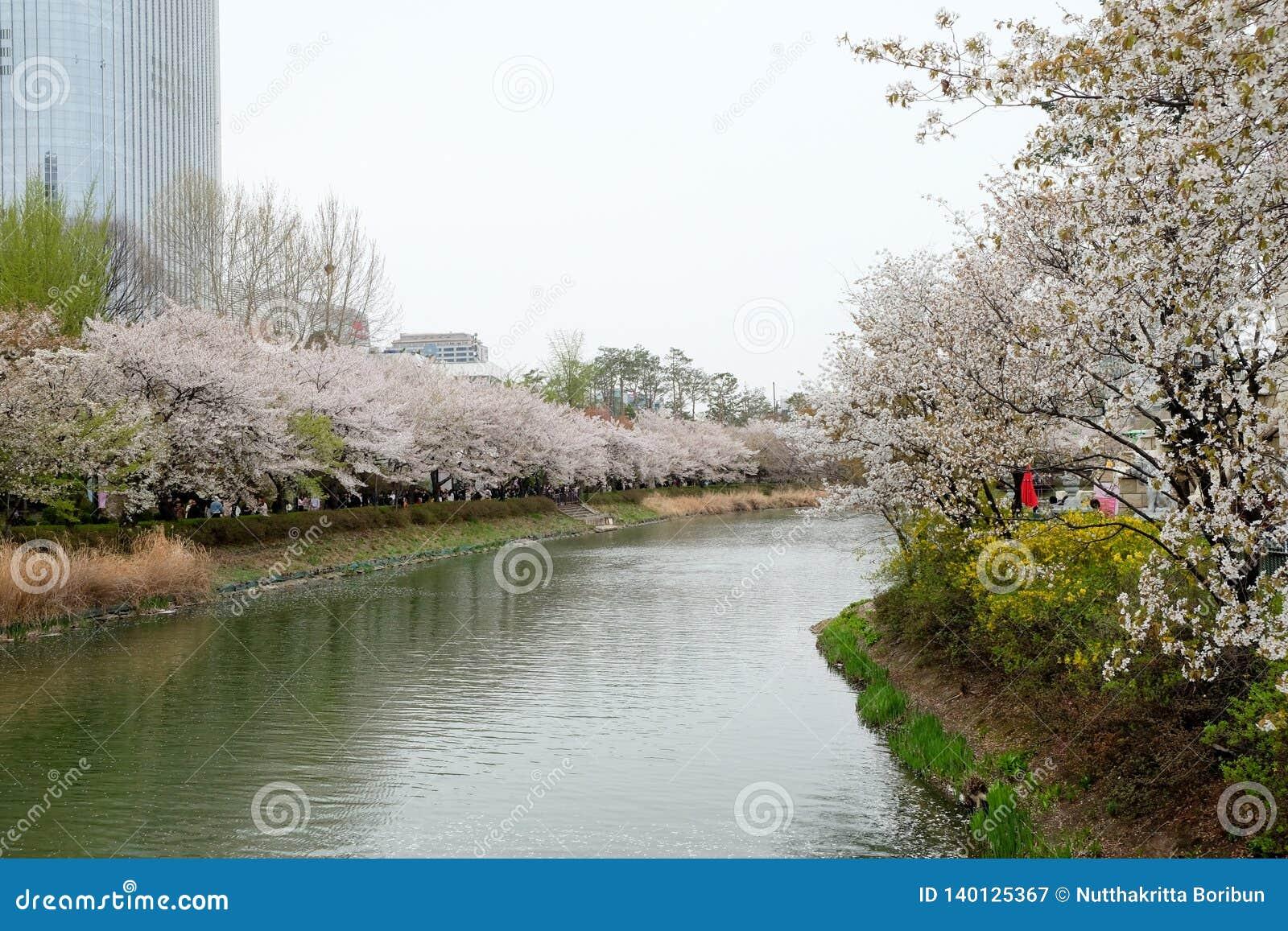 De bloeiende steeg van de kersenbloesem in de lente bij Lotte World-toren