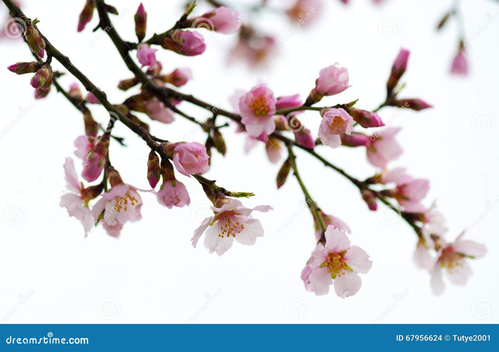 De Bloeiende Takken Van De Lente Roze Bloemen Stock Foto   Afbeelding  67956624