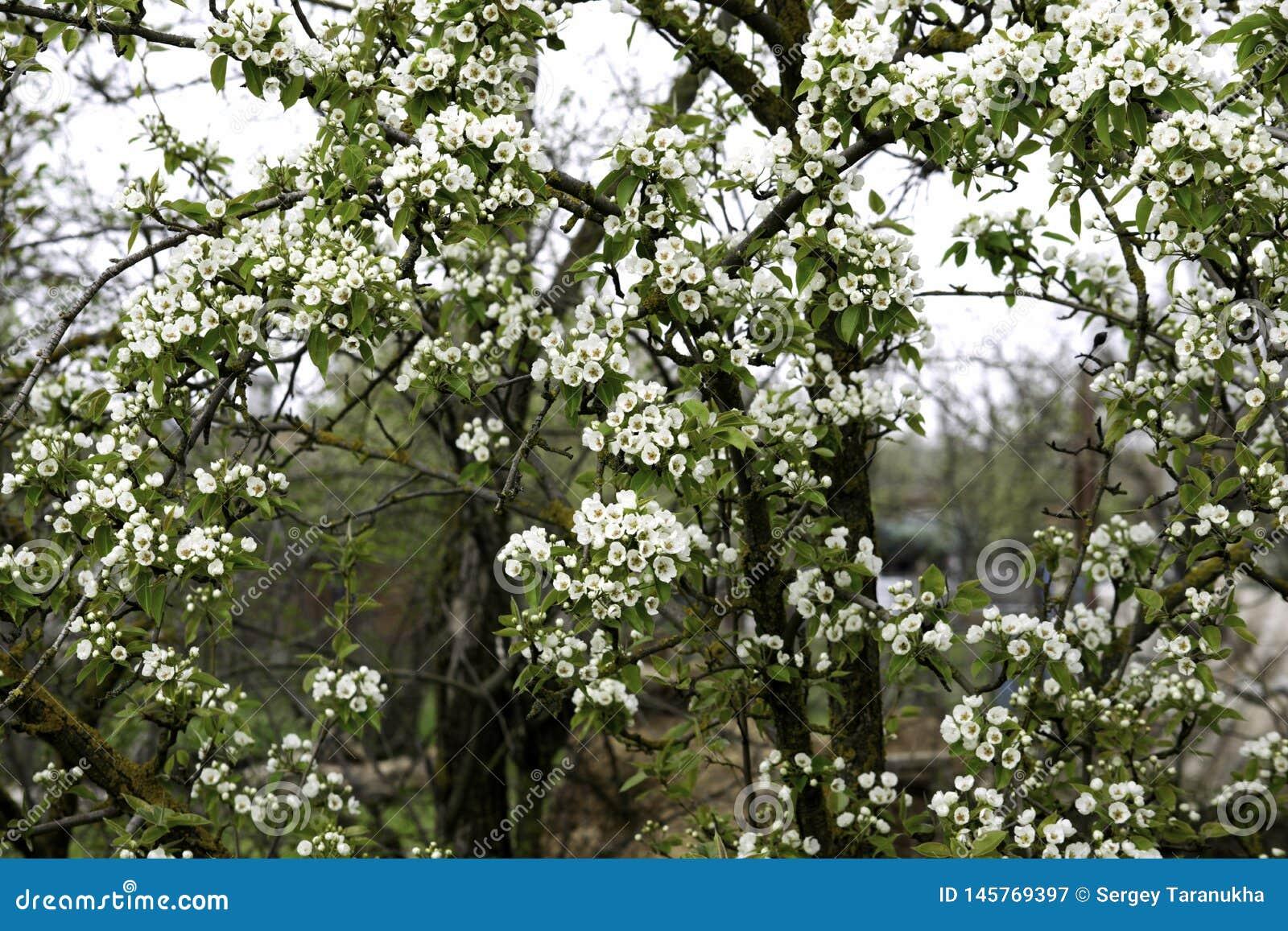 De bloeiende takken van de perenboom in de lente tuinieren, witte bloemen en jong groen gebladerte, achtergrond, achtergrond