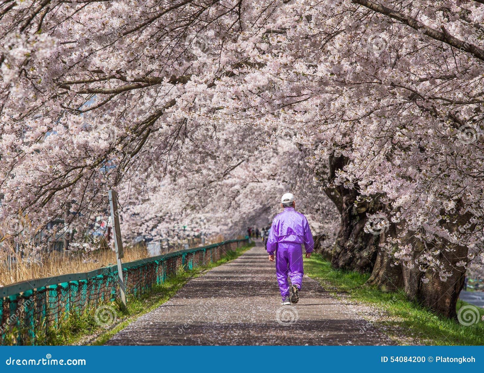 De bloeiweg van kersenbloesems, Japan