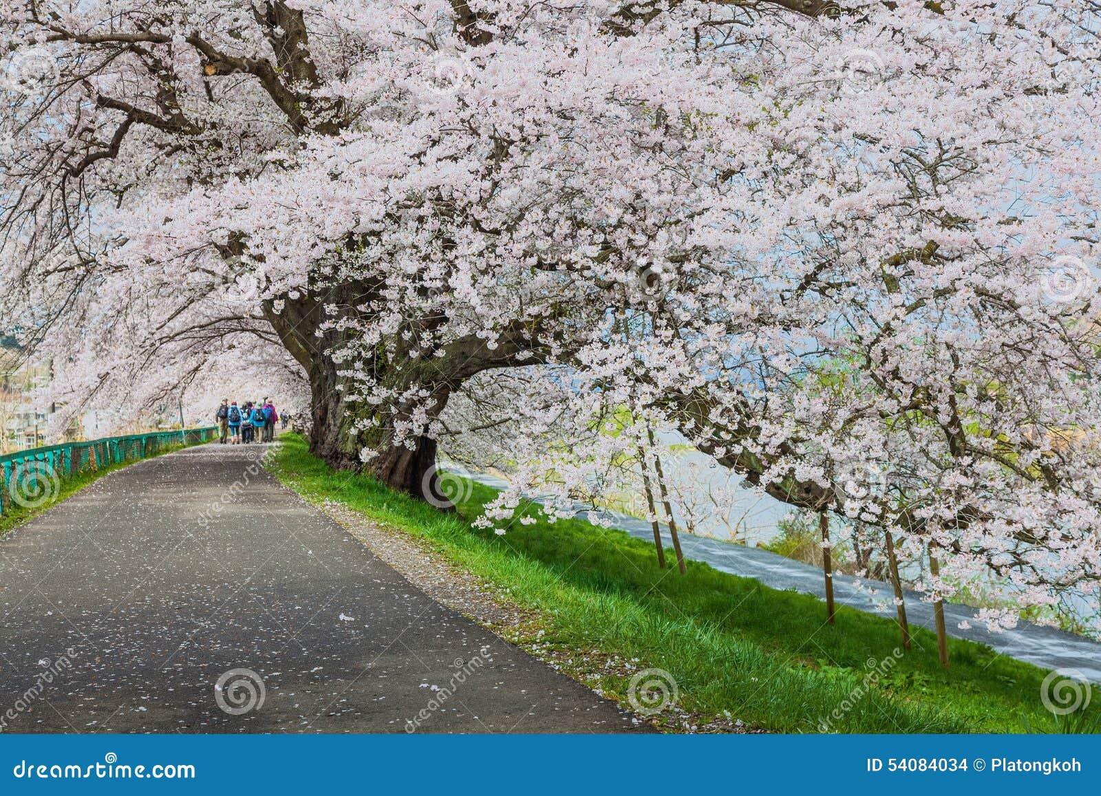 De bloeiweg van kersenbloesems, Sendai, Japan