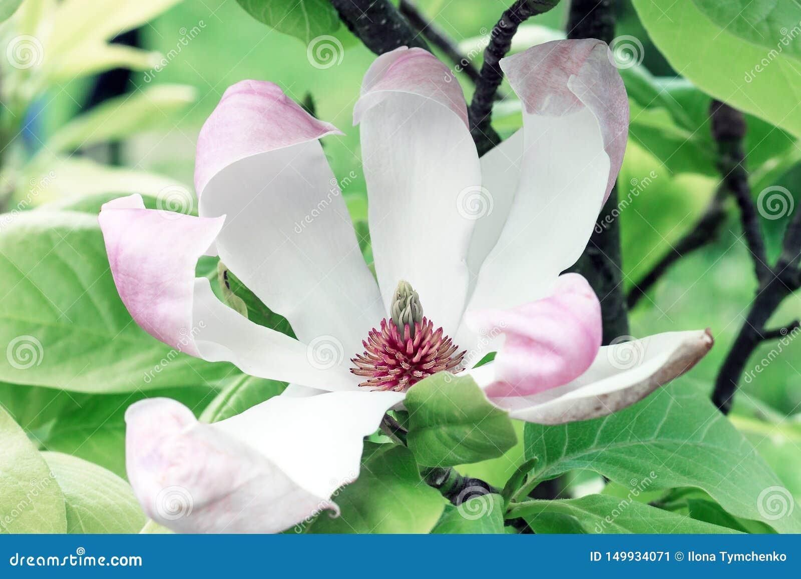 De bloem dichte omhooggaand van de magnolia