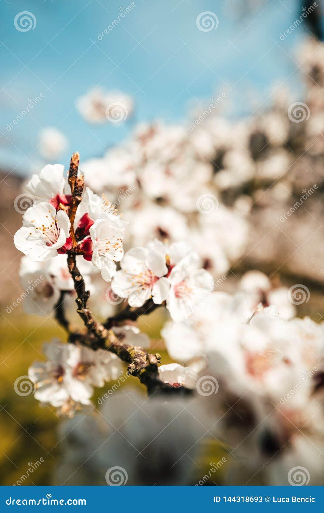 De bloem die van de abrikozenboom met een sterke bokeh tot bloei komen