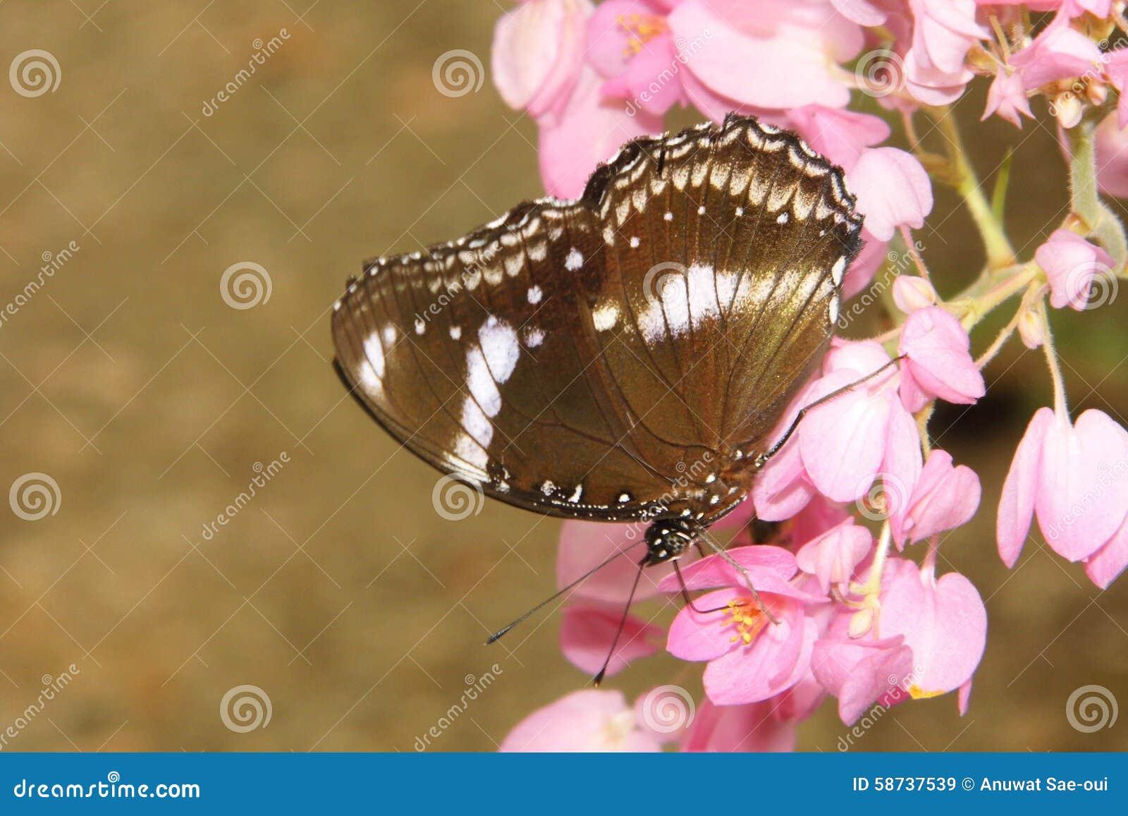 De bloem en de vlinder van de koraalwijnstok
